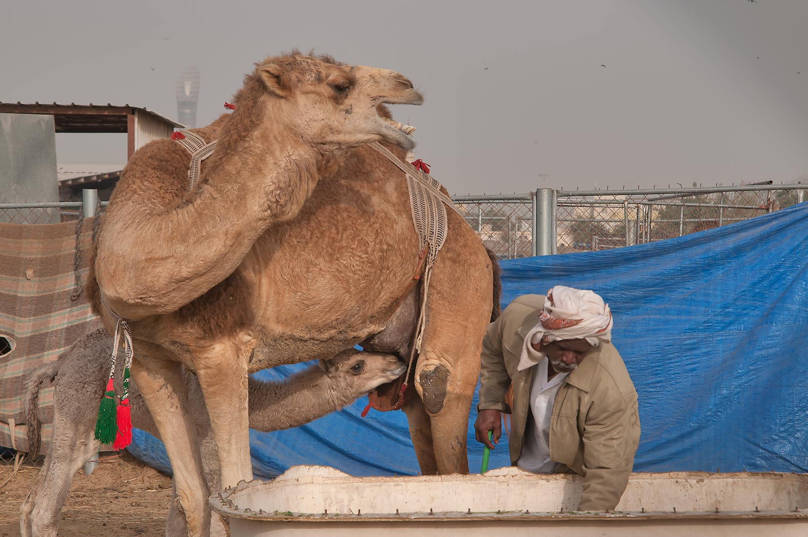 Camel calf feeding on mother's milk in Wholesale Animal Market. Doha, Qatar