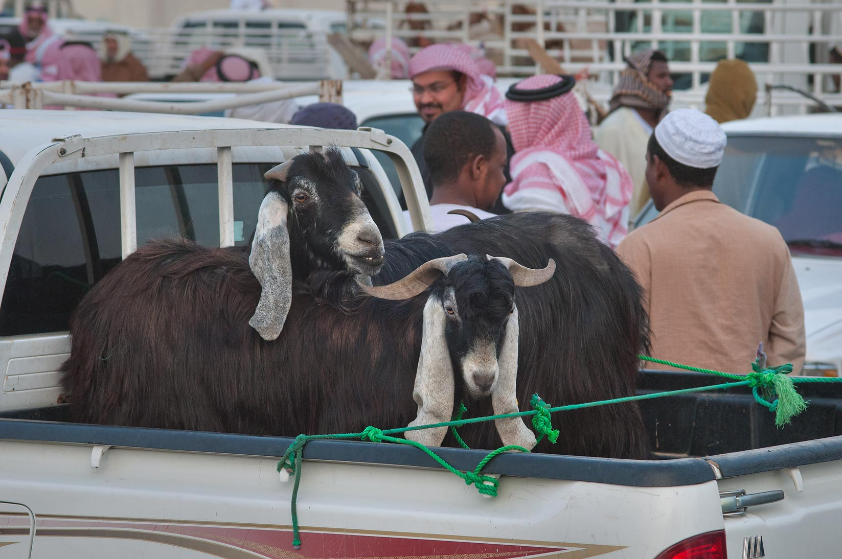 Najdi goats in Sheep Market, Wholesale Markets area. Doha, Qatar