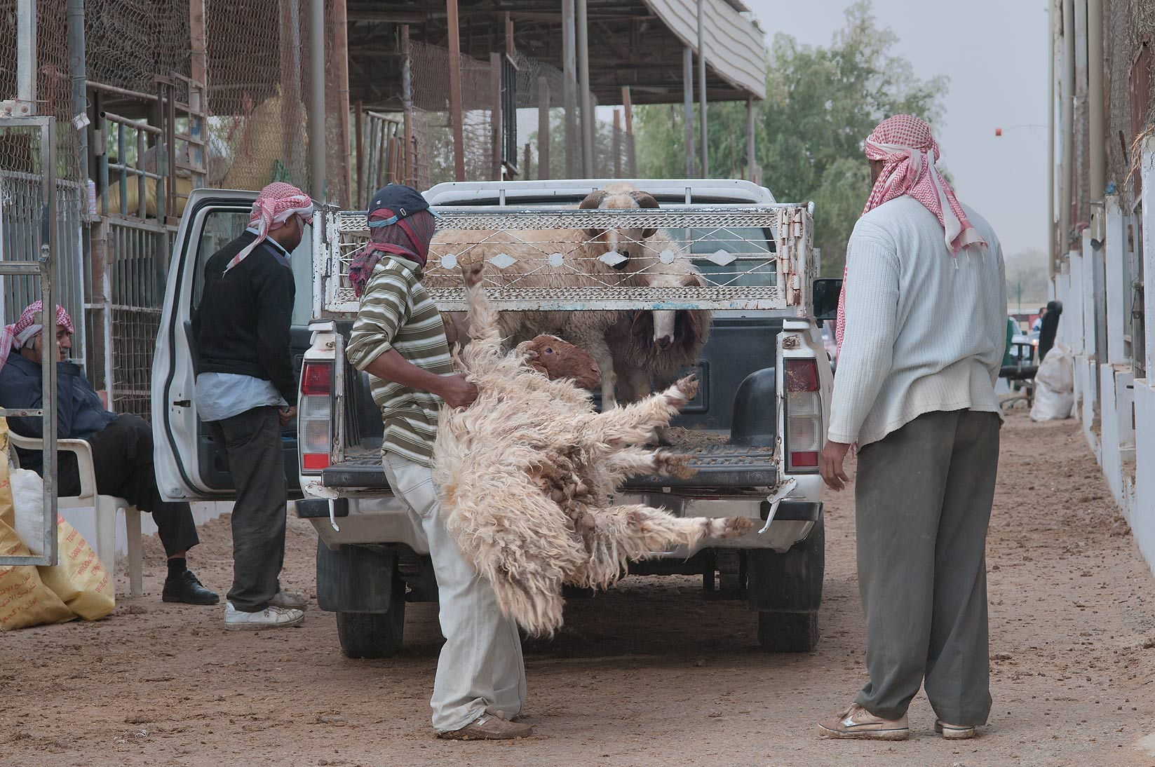 Loading a sheep on a truck in Sheep Market, Wholesale Markets area. Doha, Qatar