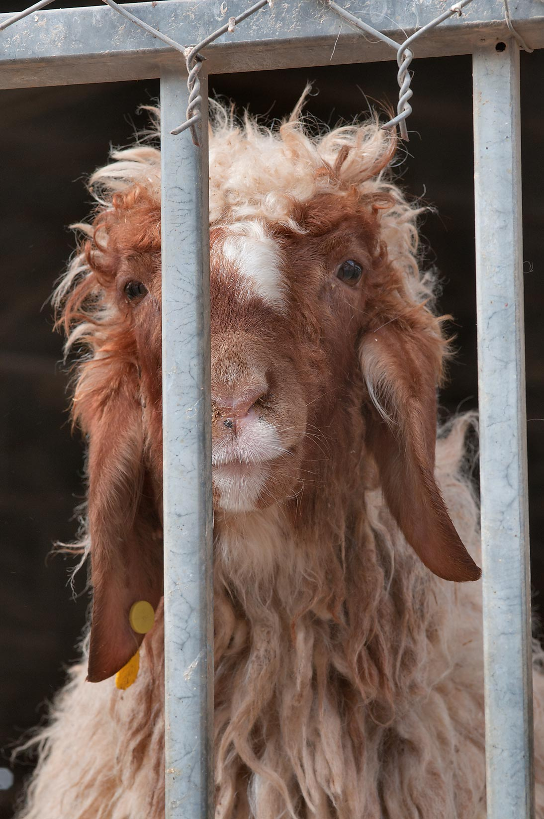 Brown goat behind bars in Sheep Market, Wholesale Markets area. Doha, Qatar