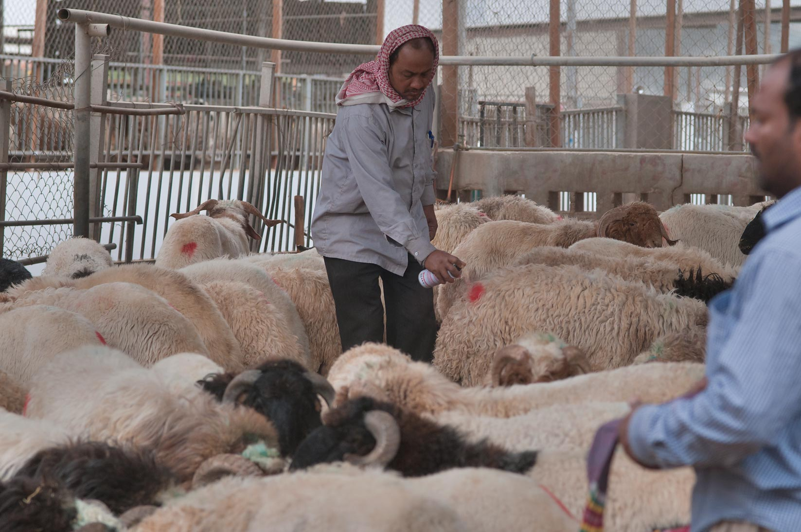 Marking sheep by spray for identification in...Wholesale Markets area. Doha, Qatar