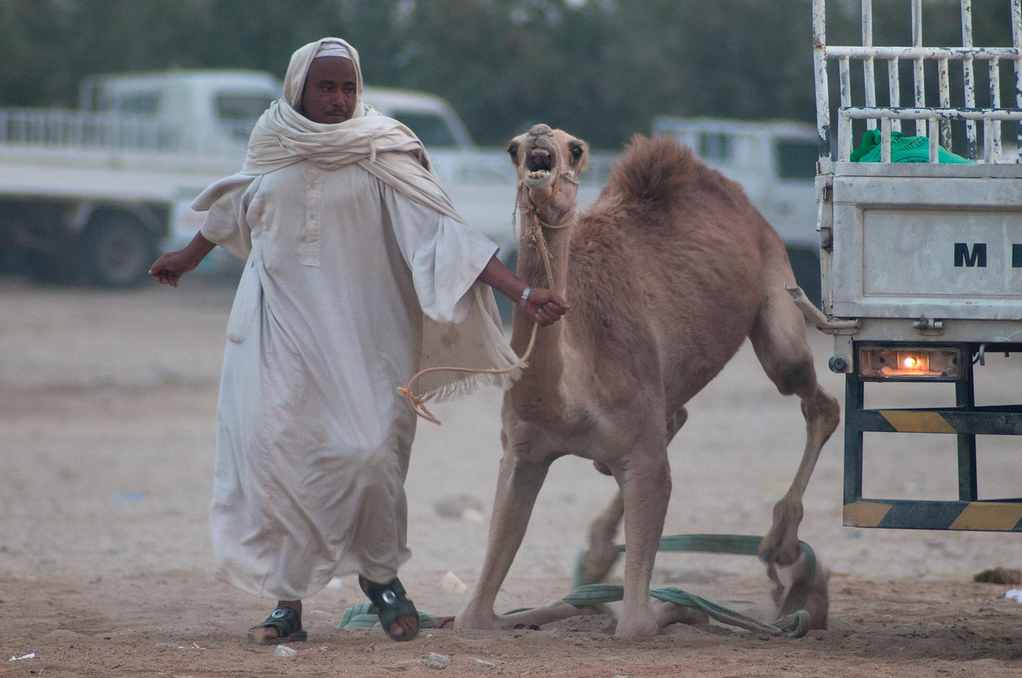 Taming a kneeled camel in Camel Market (Souq), Wholesale Markets area. Doha, Qatar