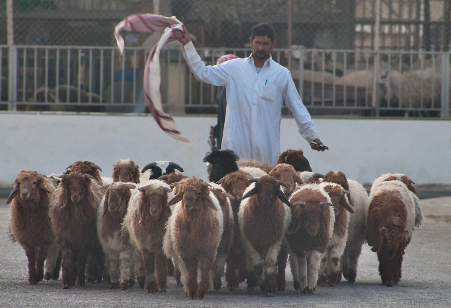 Herd of sheep in Animal Market, Wholesale Markets area. Doha, Qatar