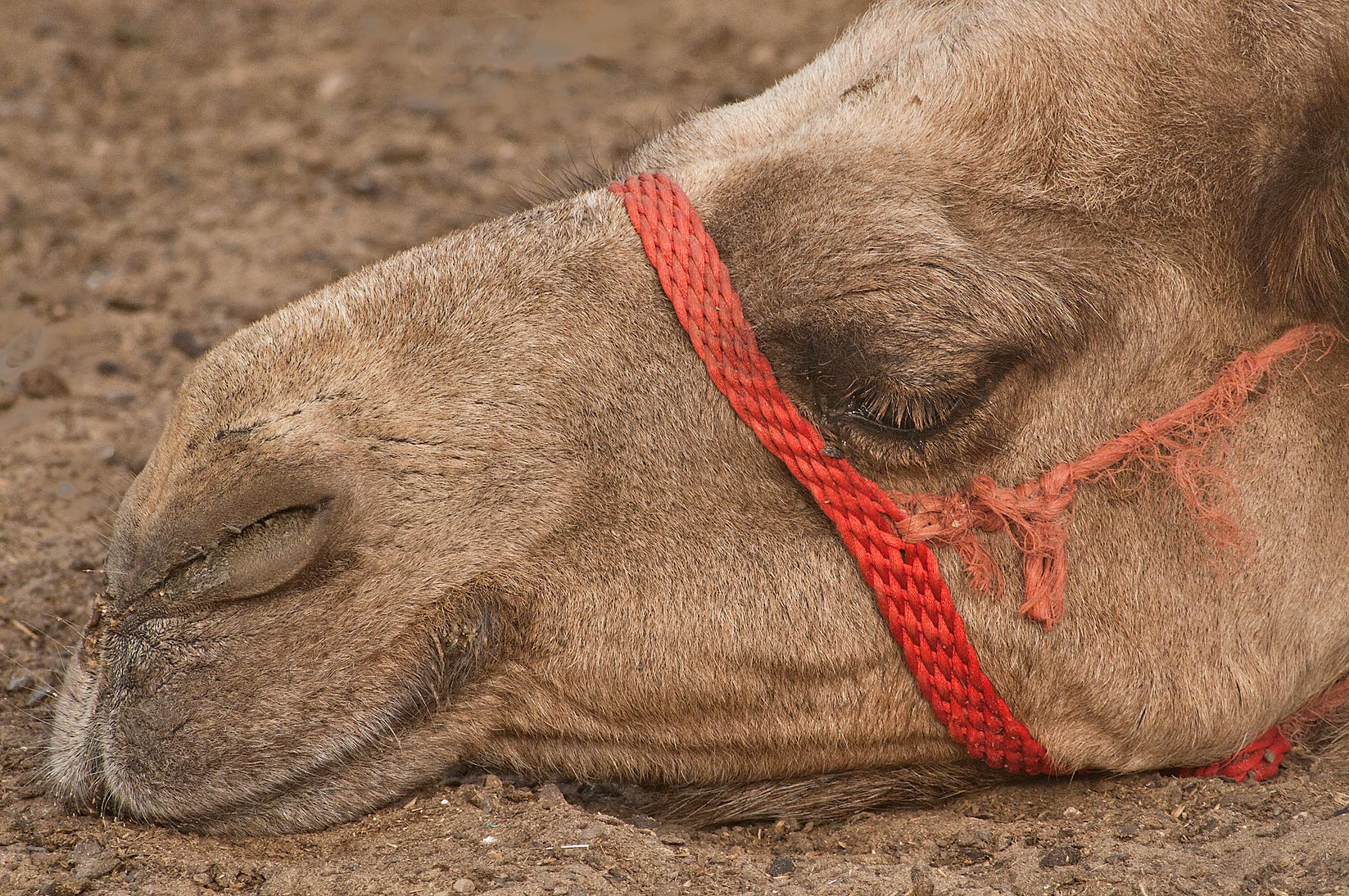 Sleeping camel in Camel Market (Souq), Wholesale Markets area. Doha, Qatar