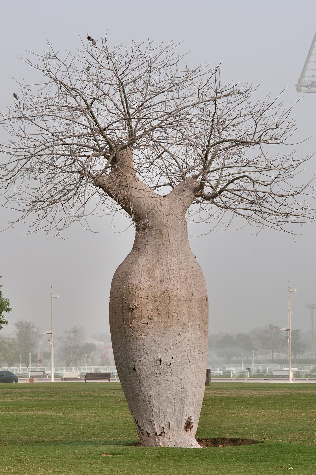 Silk floss tree (Chorisia speciosa, Ceiba...Zone in morning mist. Doha, Qatar