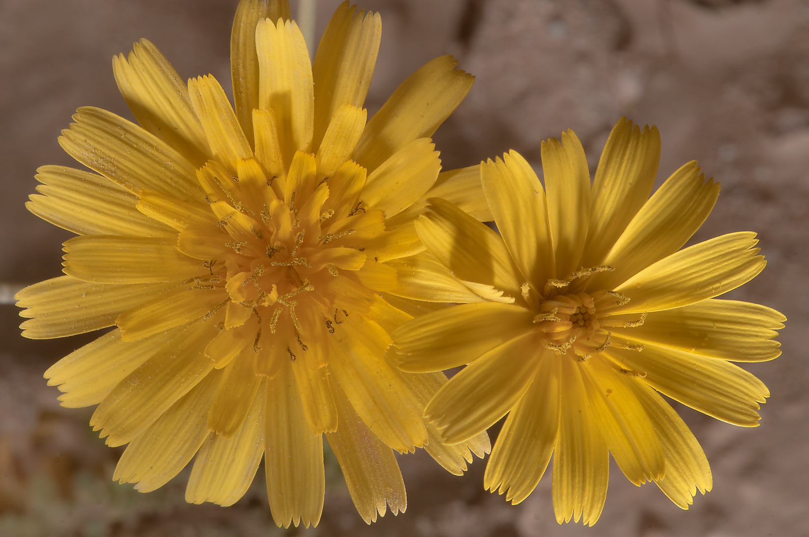 Flowers of Launaea mucronata (local name Huwa...40 miles south-west from Doha. Qatar