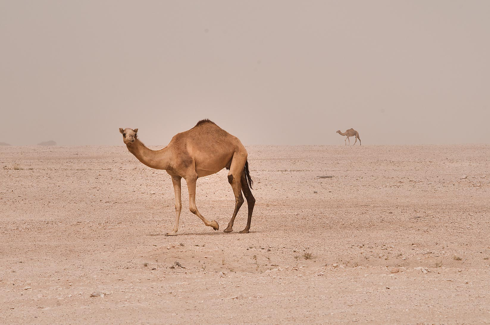 A camel in desert near Mesayeed, south-west from Doha, view from a window of a car. Qatar