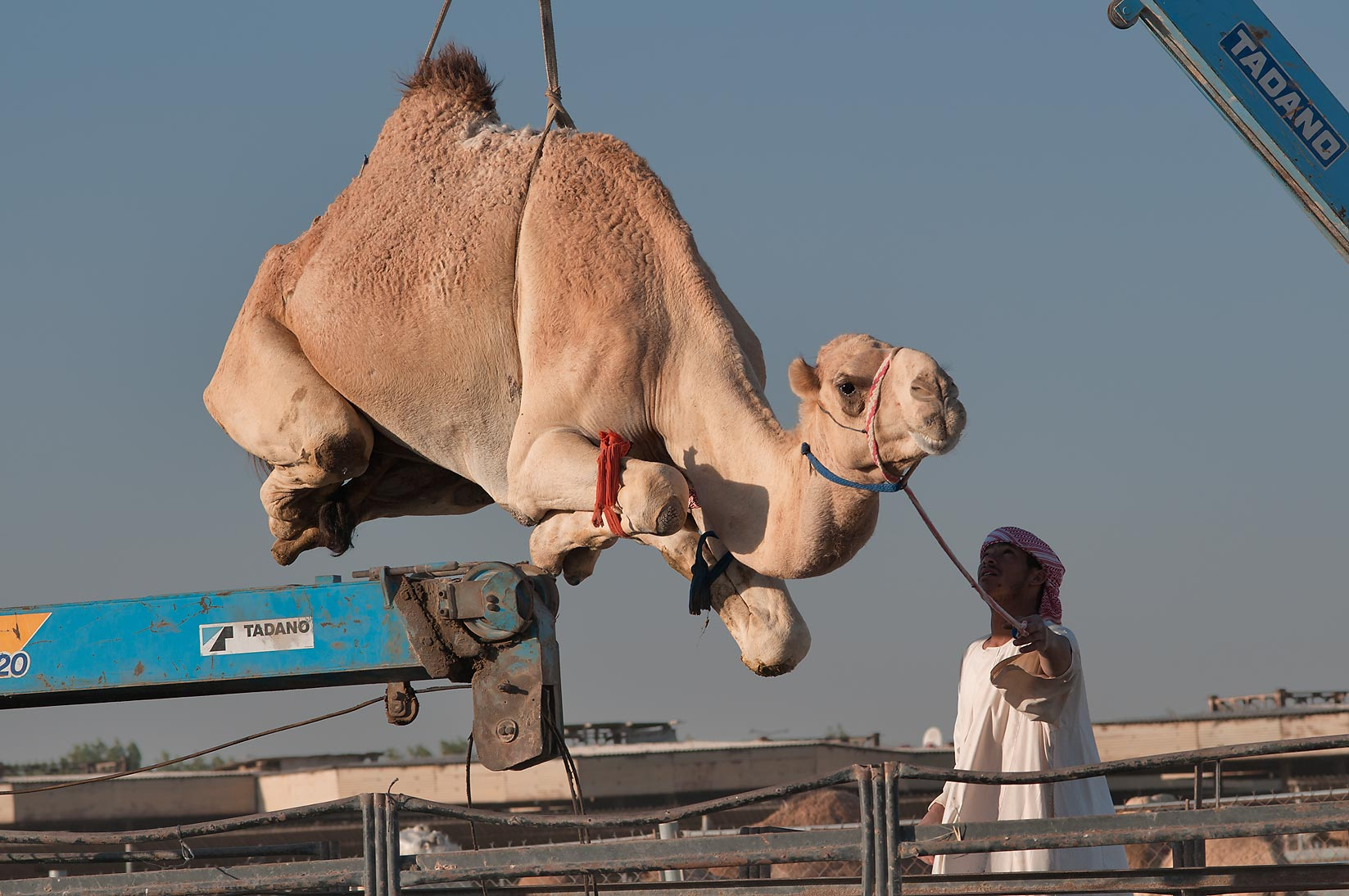 Docile camel suspended by crane in Camel Market...Wholesale Markets area. Doha, Qatar