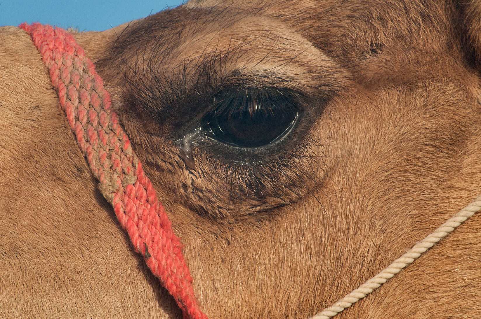 Eye of a camel at Camel Market (Souq) in Wholesale Markets area. Doha, Qatar