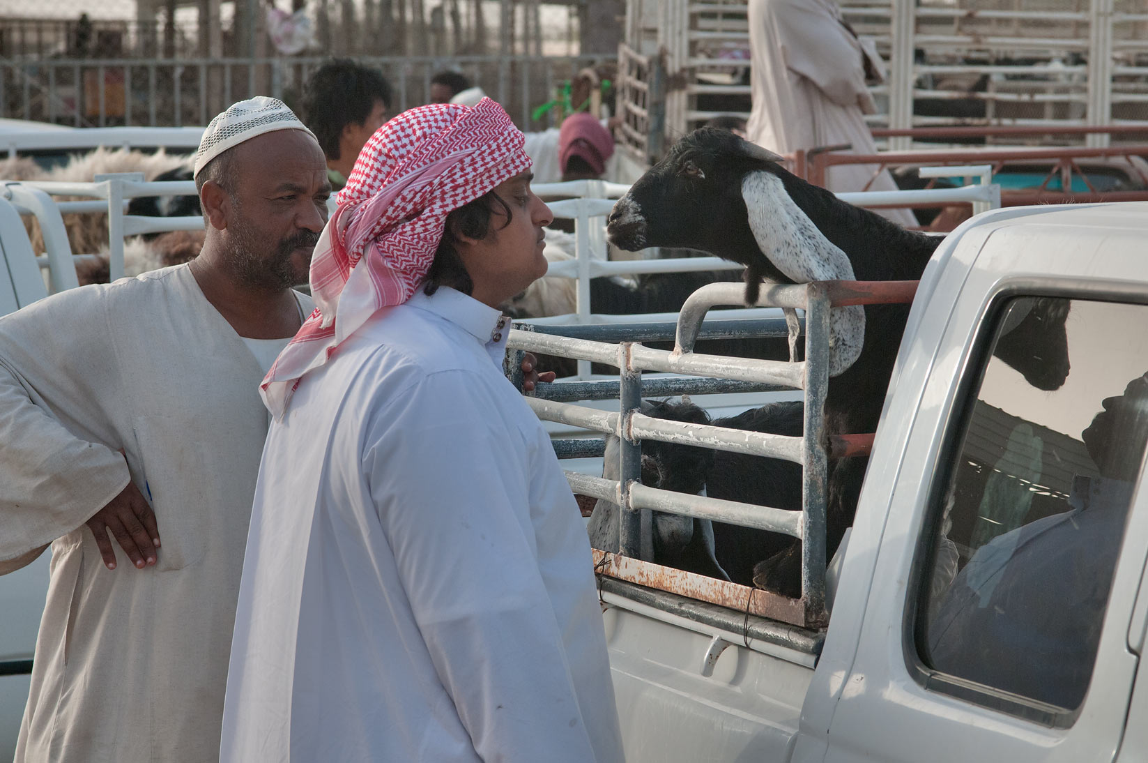 Looking on a black goat in a truck in Sheep Market, Wholesale Market area. Doha, Qatar