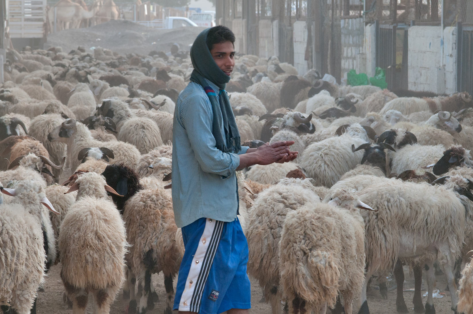 Herdsman with Australian sheep in Animal Market, Wholesale Market area. Doha, Qatar