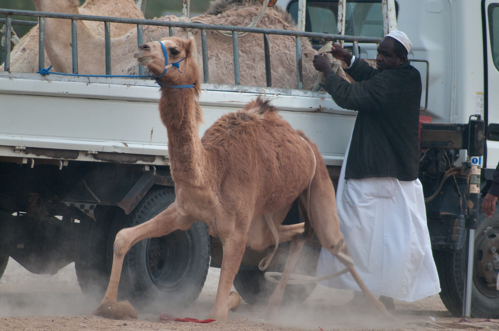 Loose camel unloaded from a truck in Camel Market, wholesale markets area. Doha, Qatar