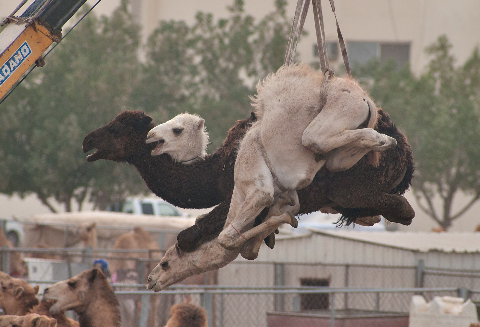 Camels suspended by crane in Camel Market, wholesale markets area. Doha, Qatar