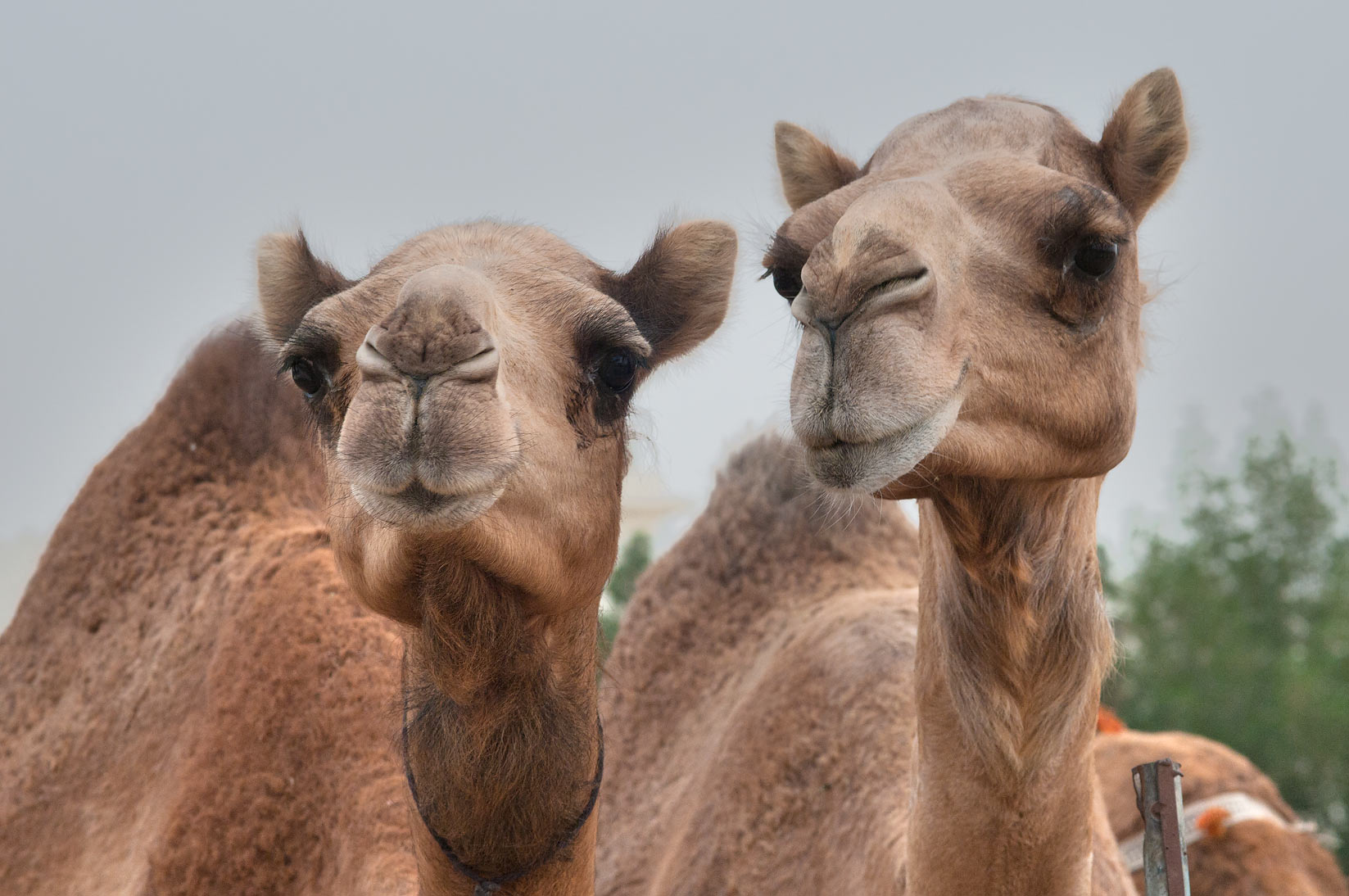 Pair of camels in Camel Market, Wholesale Markets area. Doha, Qatar