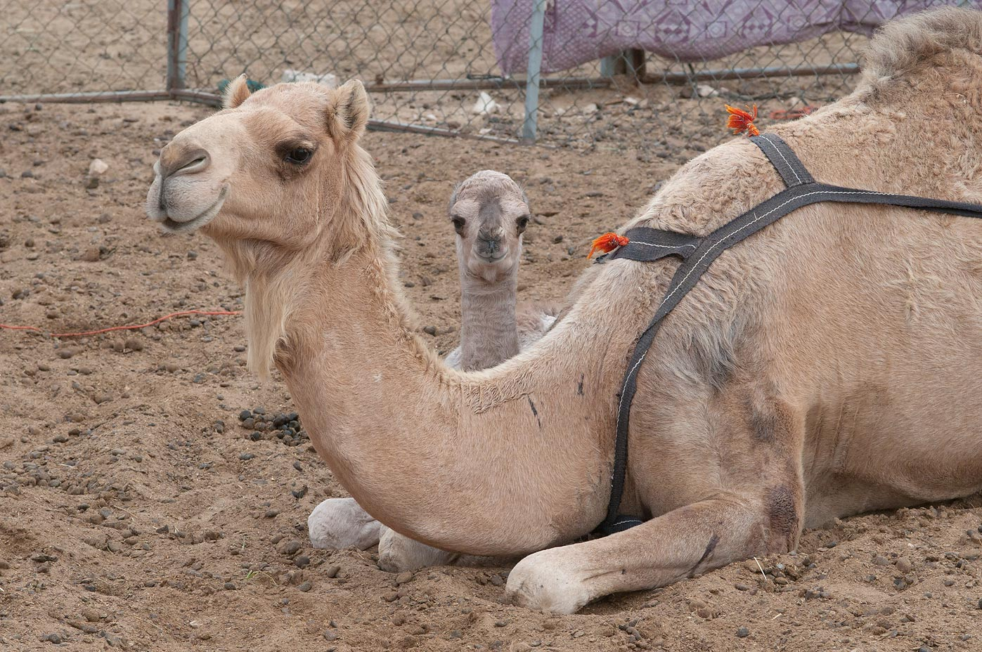 Resting mother with a child in Camel Market, Wholesale Markets area. Doha, Qatar