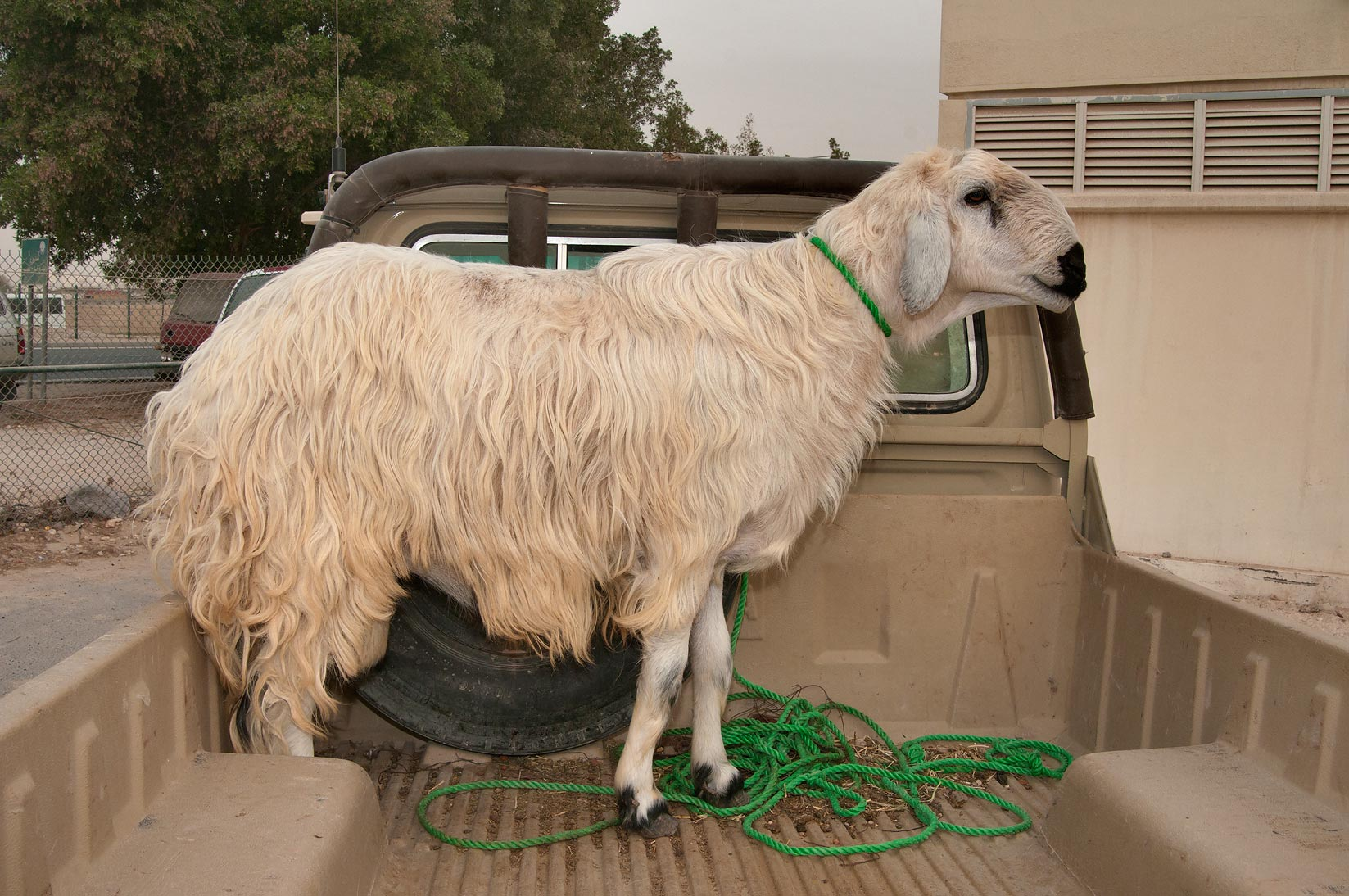 Goat in a truck in Sheep Market, Wholesale Markets area. Doha, Qatar