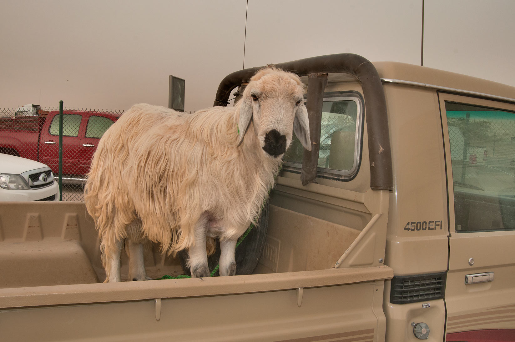 Goat standing in a truck in Sheep Market, Wholesale Markets area. Doha, Qatar
