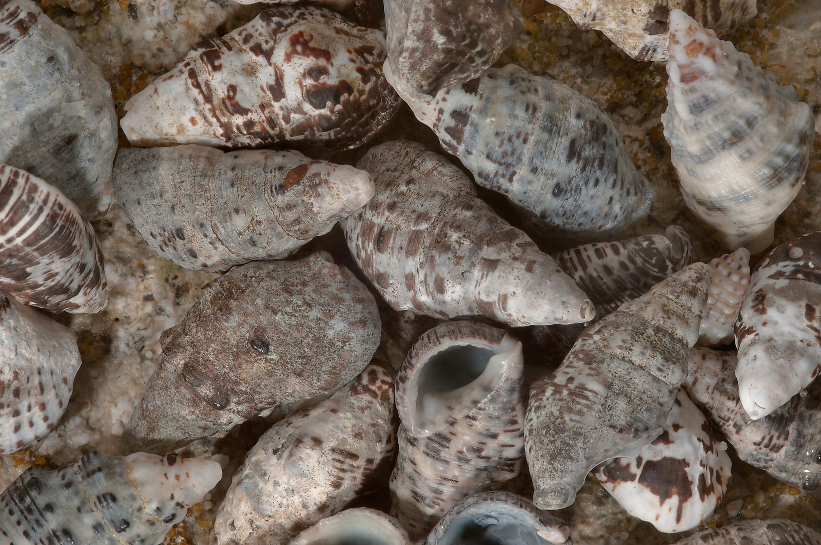Shells of a marine gastropod mollusk (sea snail...tip of Qatar, east from Ruwais
