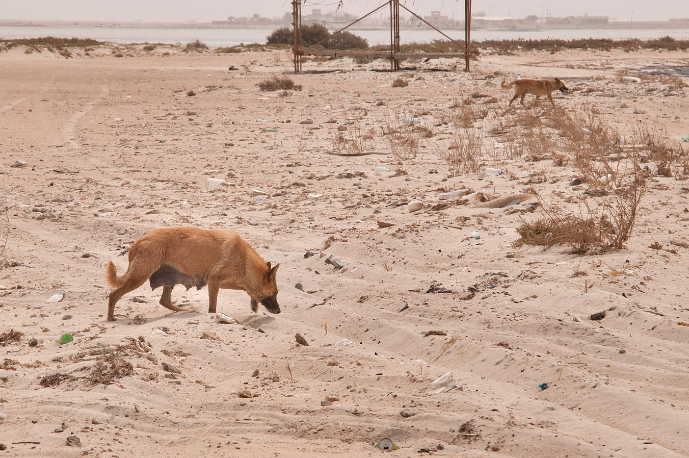 Feral dogs in Jazirat Umm Tays, barrier island at northern tip of Qatar, east from Ruwais