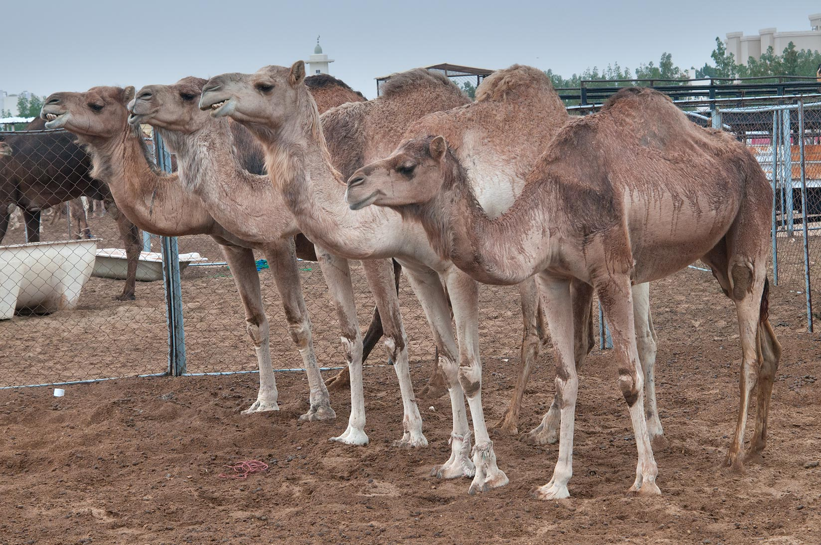 Row of camels looking forward in Camel Market, Wholesale Markets area. Doha, Qatar
