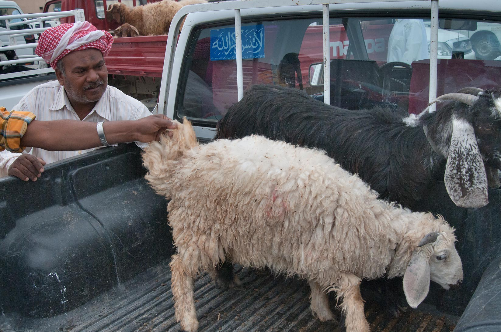 Examining quality of animals in a truck in Sheep...Wholesale Markets area. Doha, Qatar