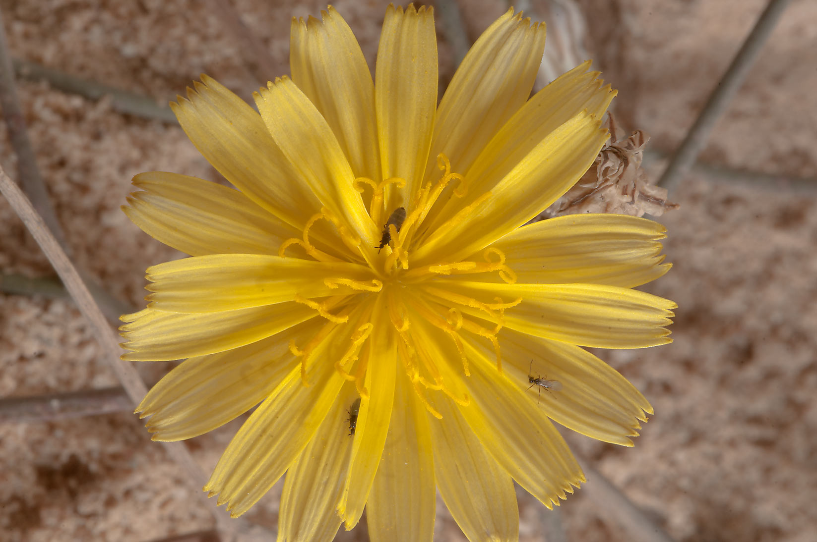 Desert flower of Launaea mucronata (local name...of Jebel Fuwairit. Northern Qatar
