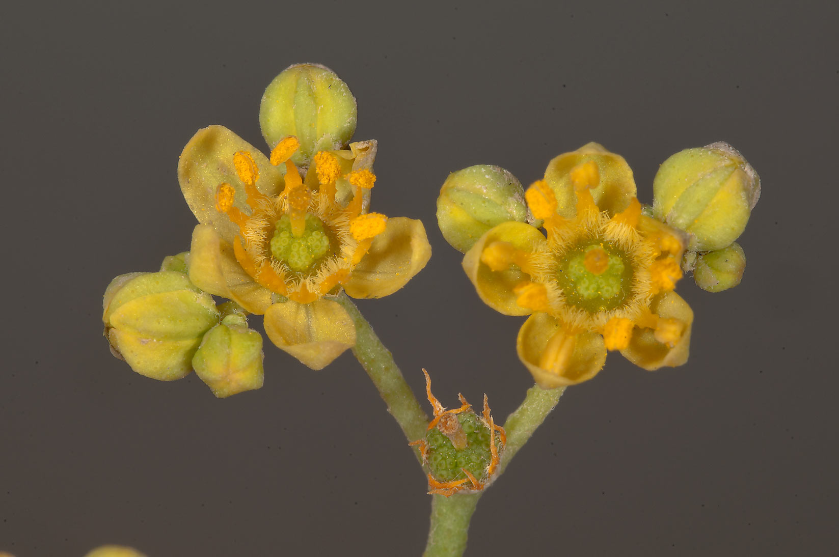 Yellow flowers of Haplophyllum tuberculatum...of Jebel Fuwairit. Northern Qatar