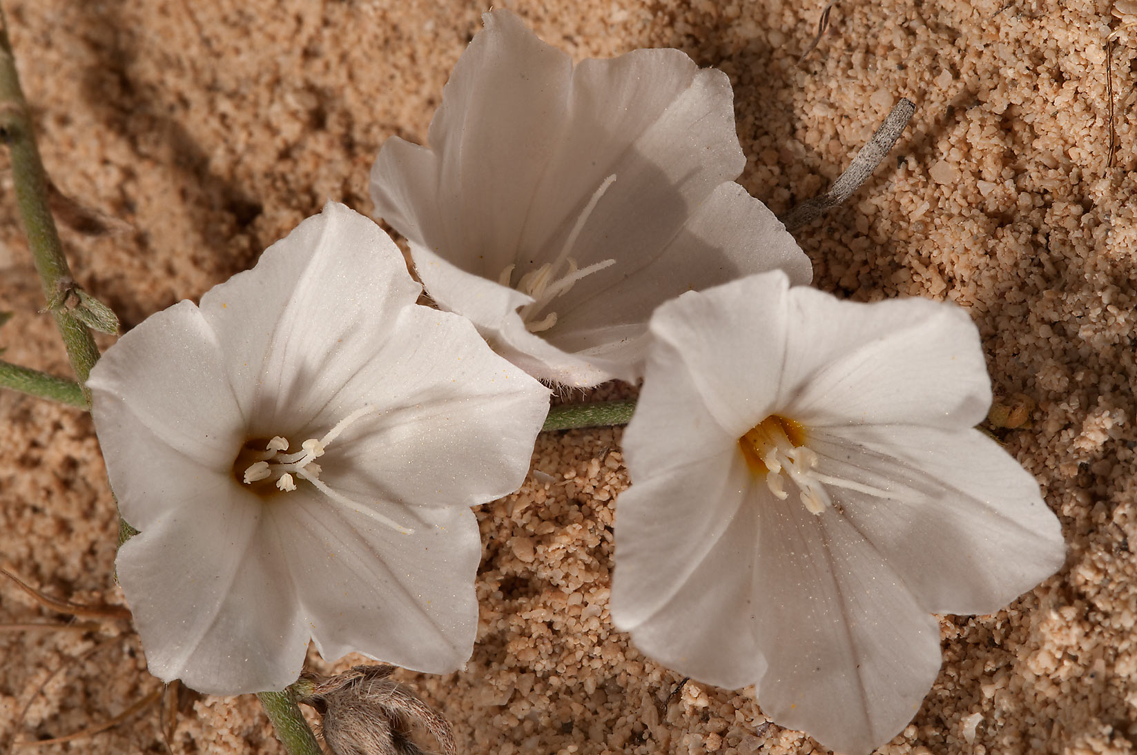 Desert species of morning glory (Convolvulus...of Jebel Fuwairit. Northern Qatar
