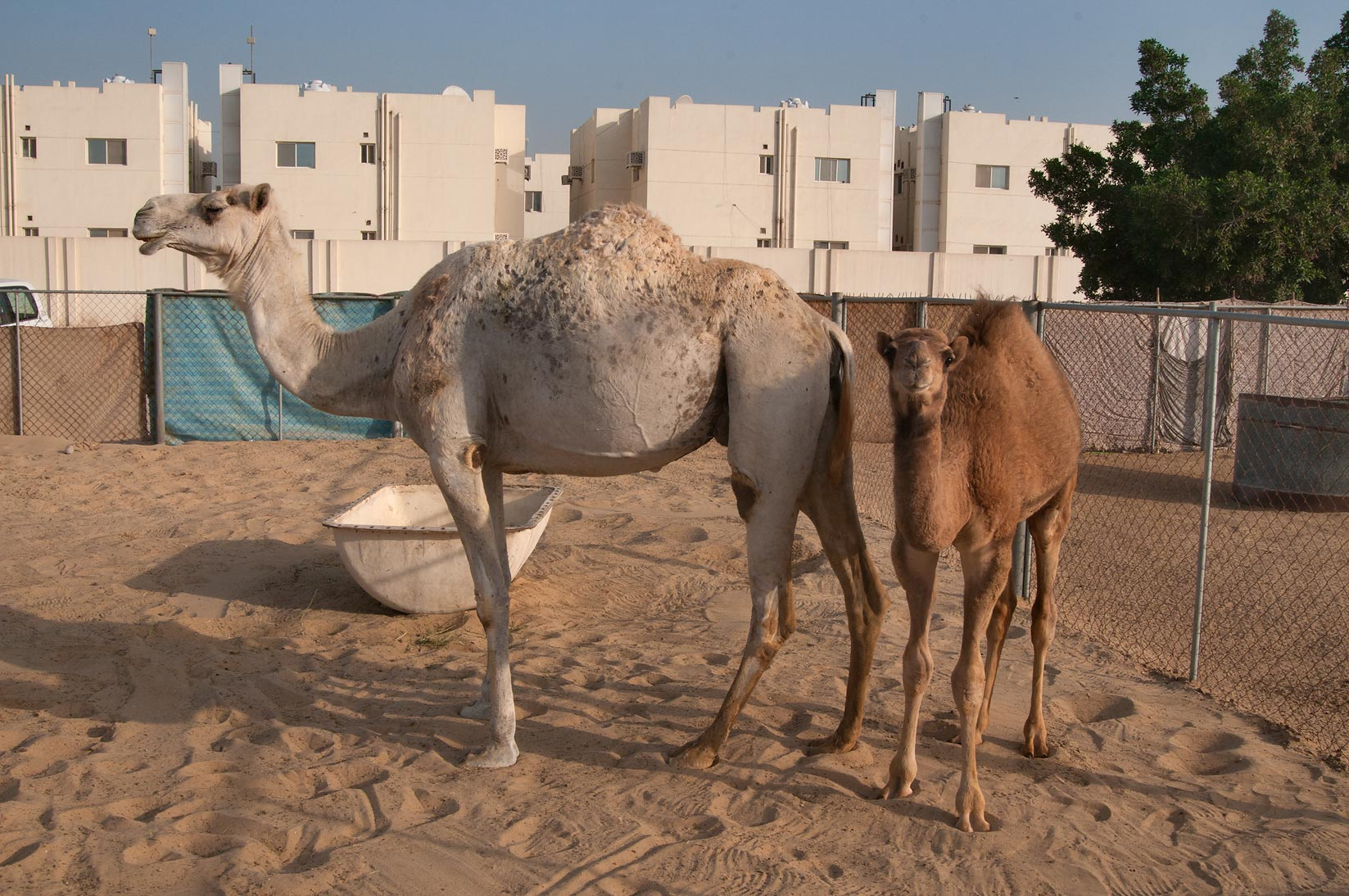 Camel standing with its calf in food section of...Wholesale Markets area. Doha, Qatar