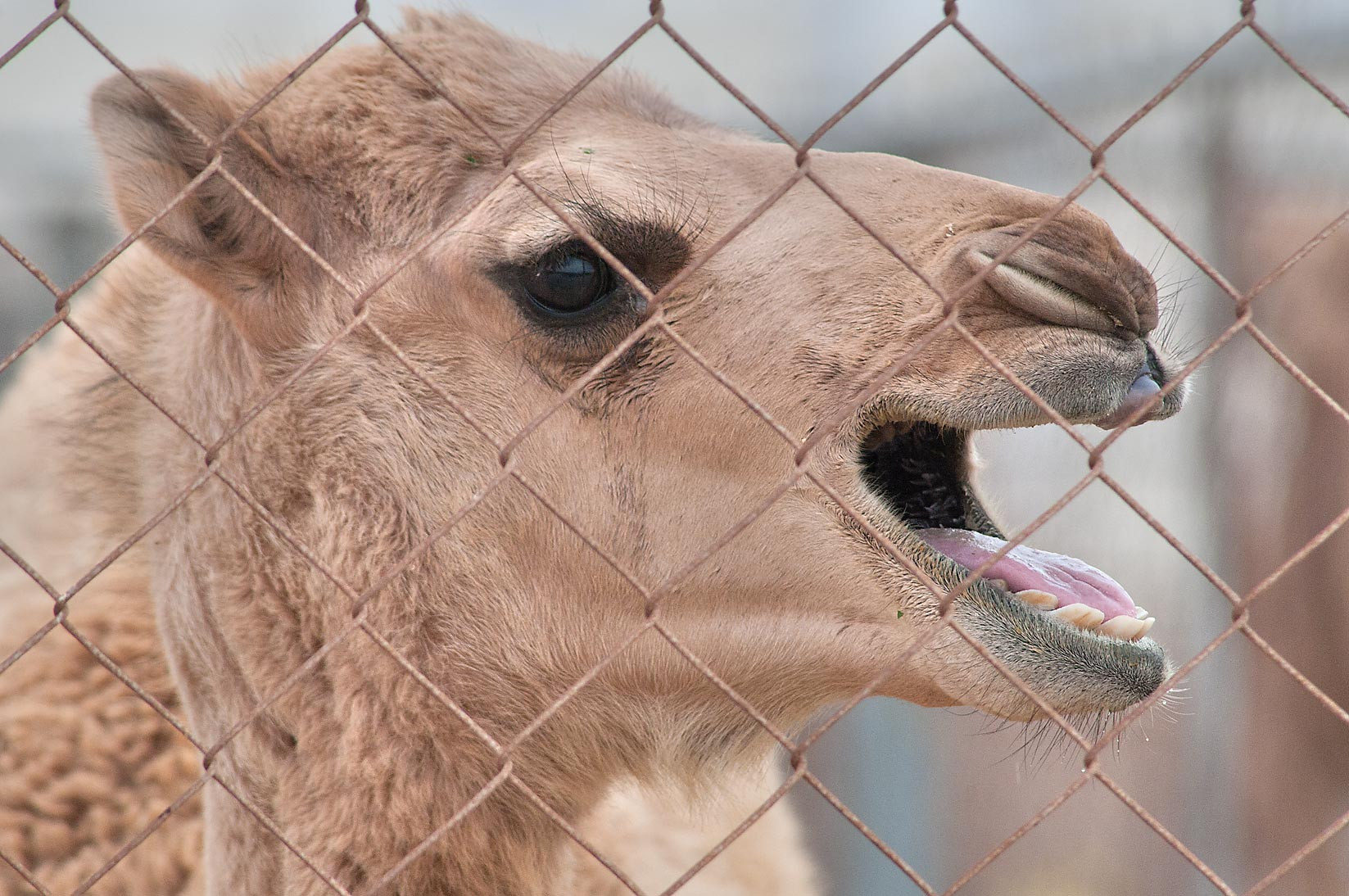 Crying camel in Camel Market, Wholesale Markets area. Doha, Qatar
