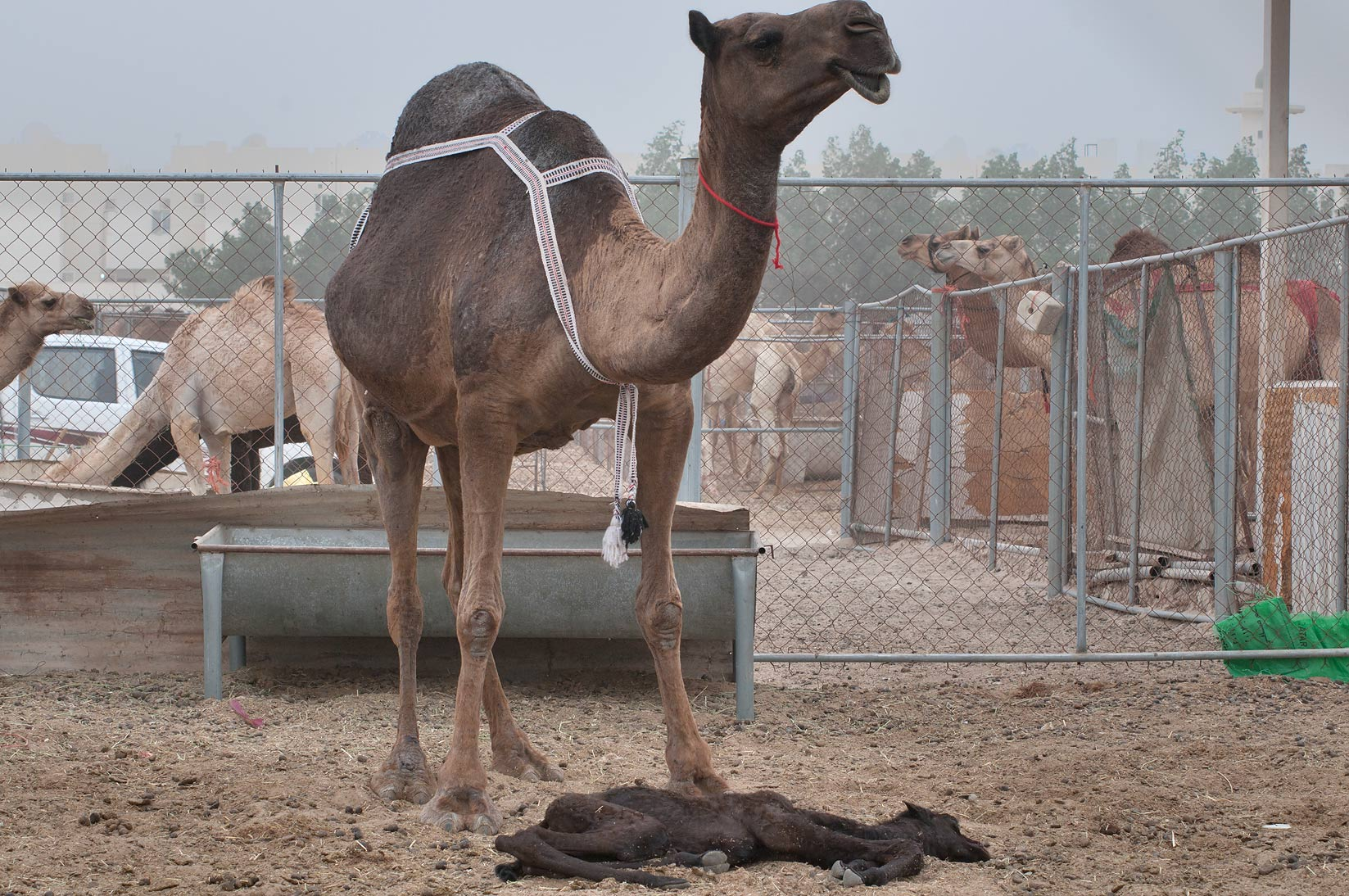 Camel with a sleeping calf in Camel Market, Wholesale Markets area. Doha, Qatar
