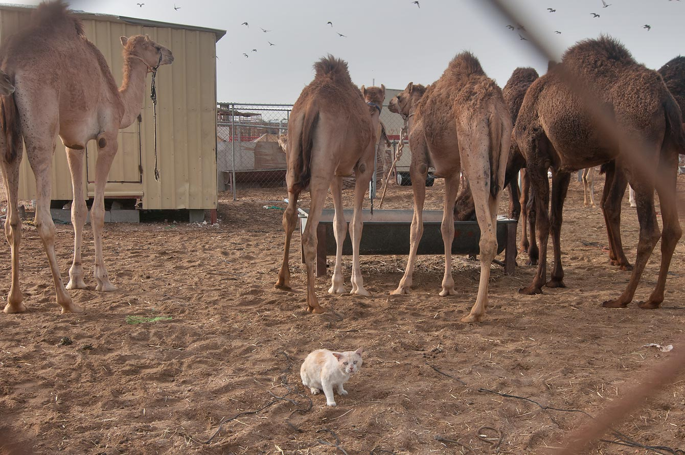 Cat living in animal pen in Camel Market, Wholesale Markets area. Doha, Qatar