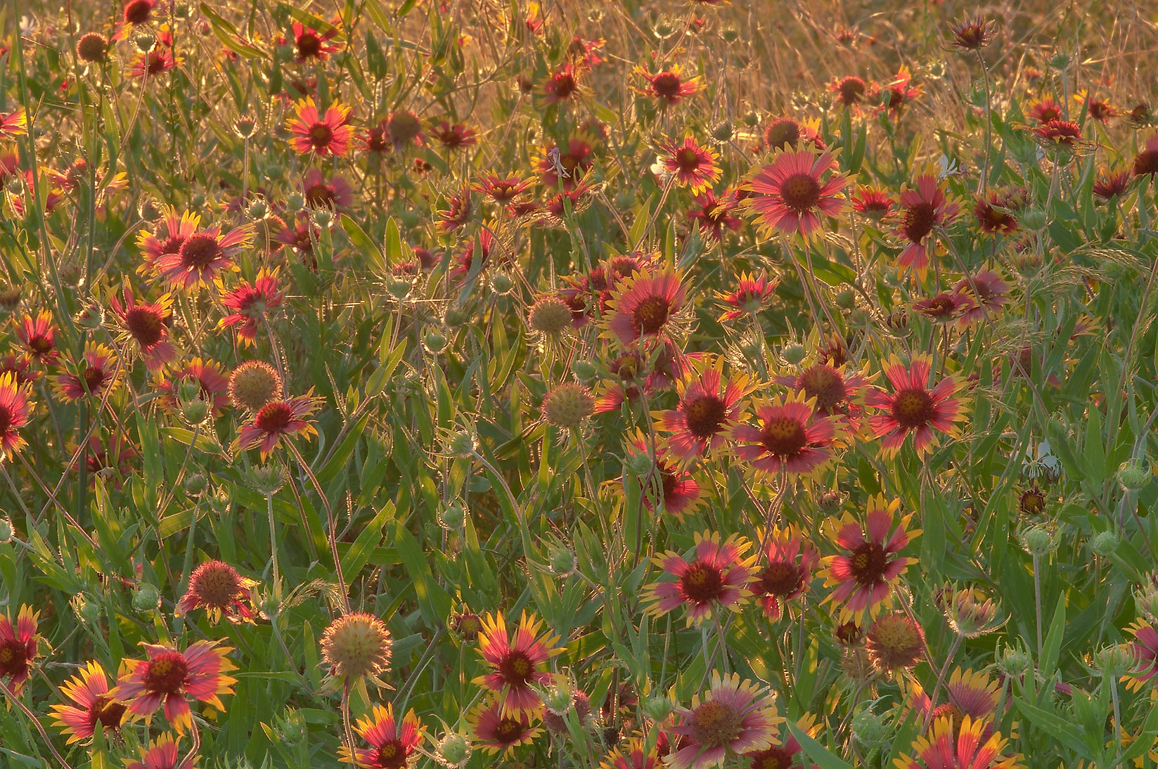 Indian blanket flowers in Old Baylor Park. Independence, Texas