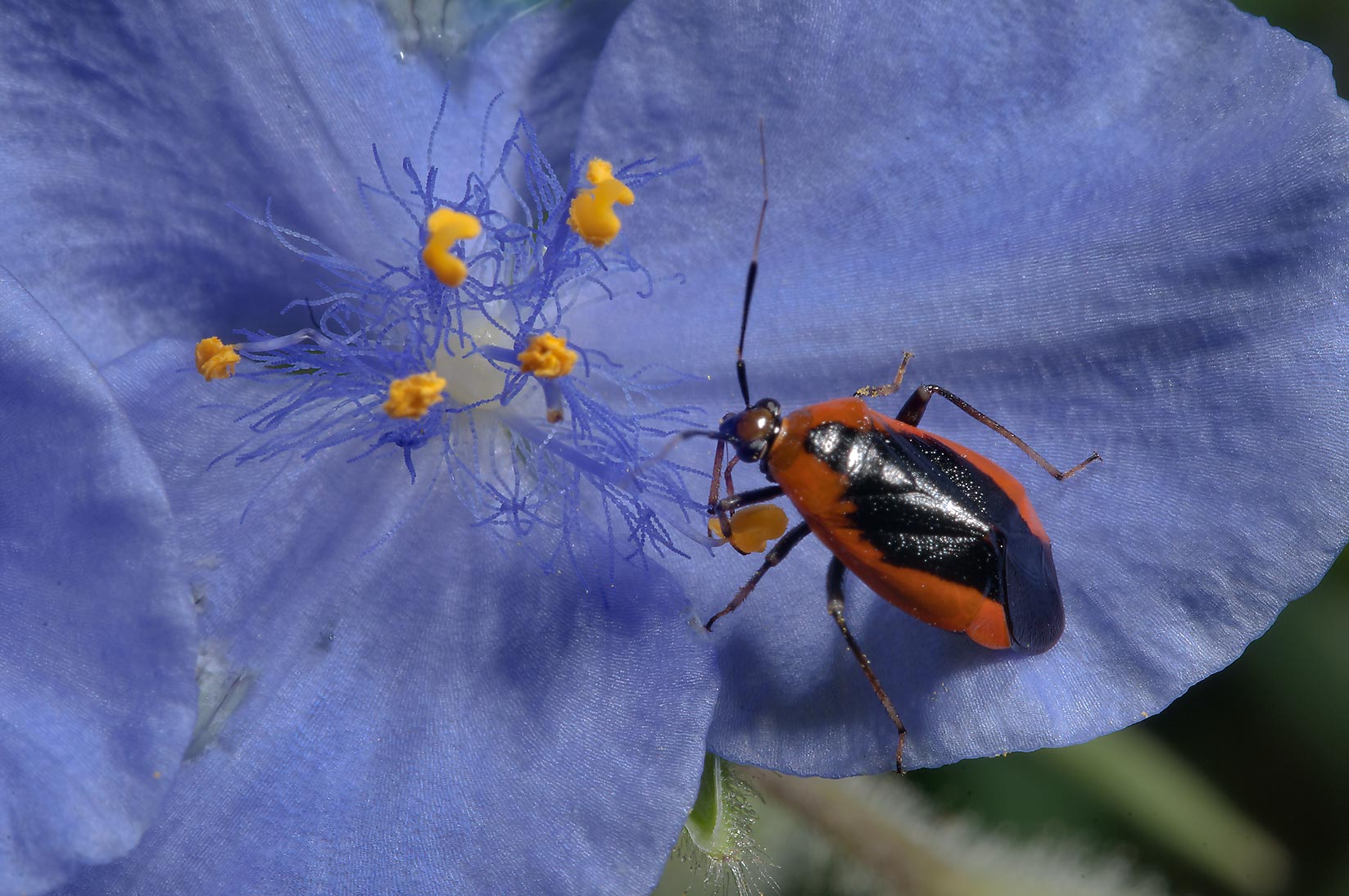 A bug on spiderwort (Tradescantia) in Birch Creek...of Lake Somerville State Park, Texas