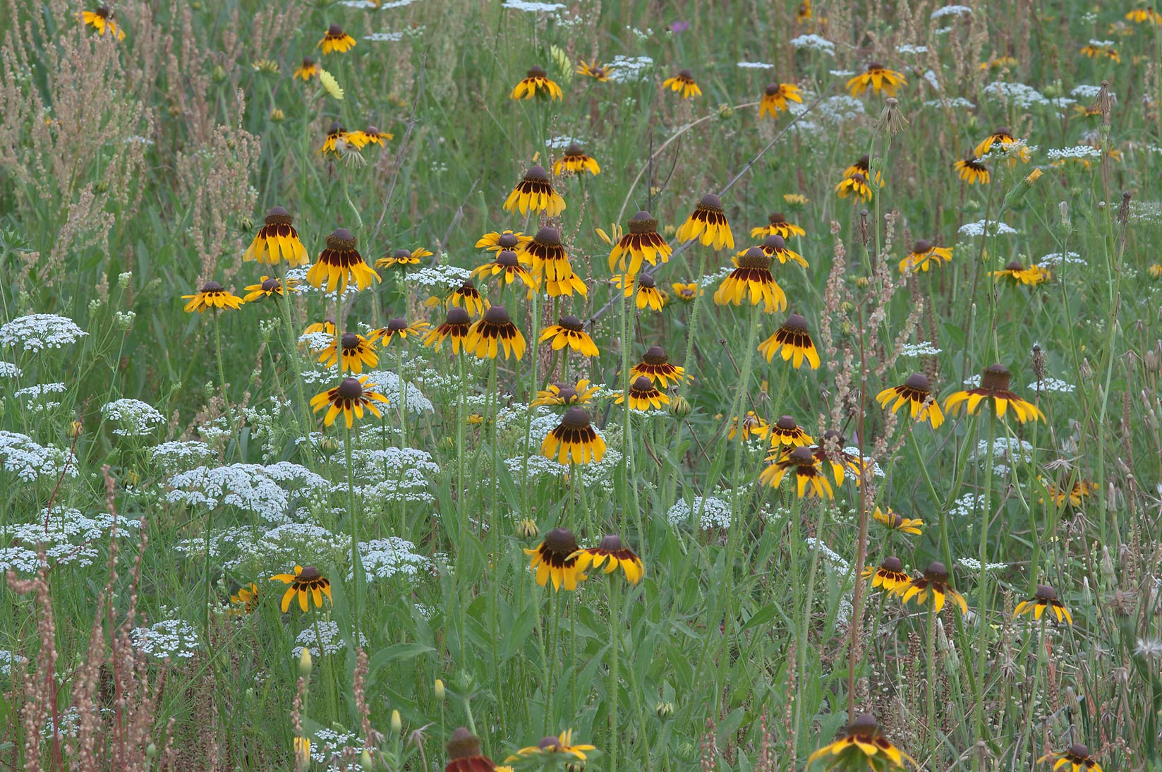 Black Eyed Susan (Rudbeckia hirta) and Mock...Creek Park. College Station, Texas