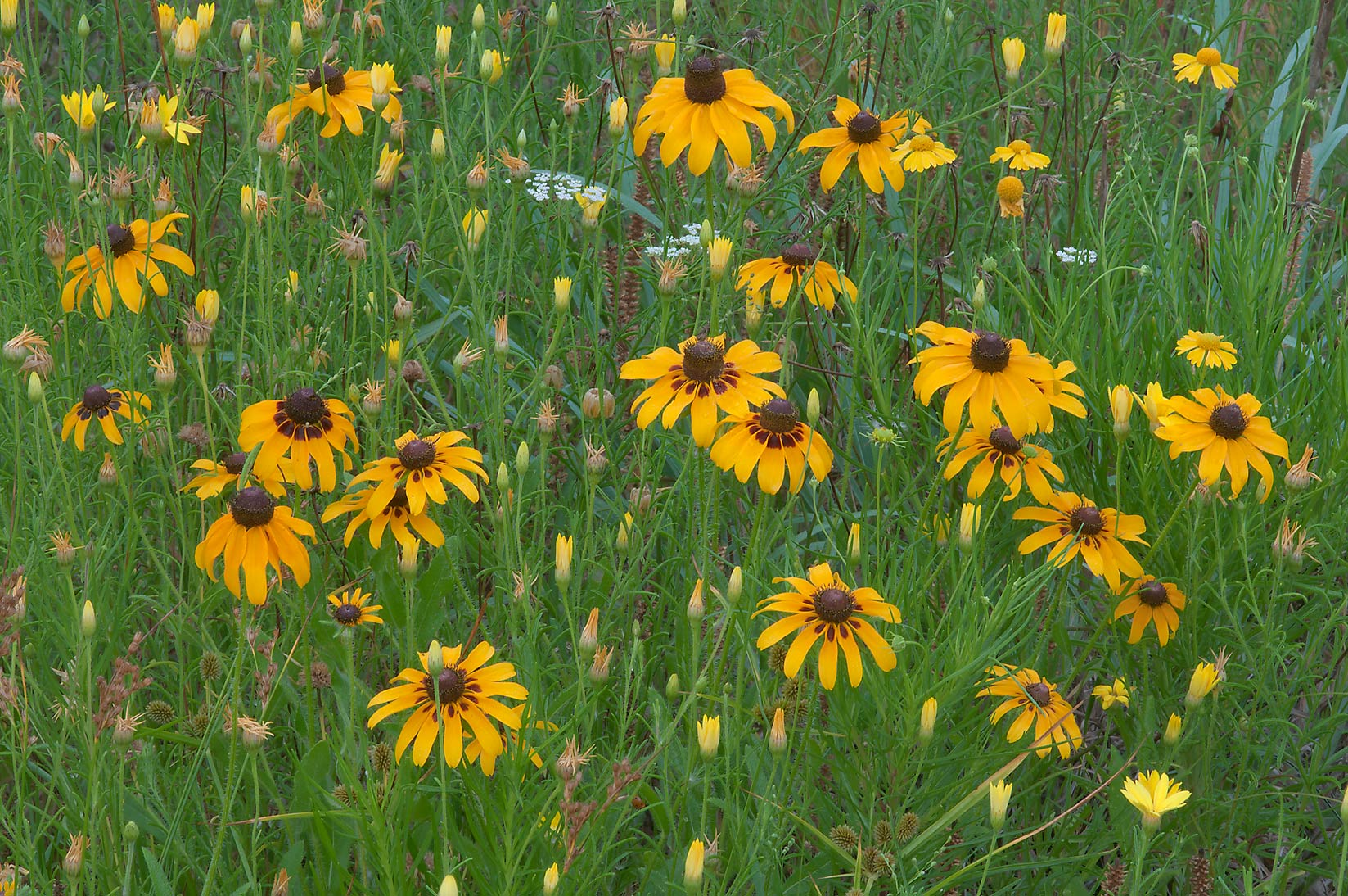 Black Eyed Susan (Rudbeckia hirta) and soft...Creek Park. College Station, Texas