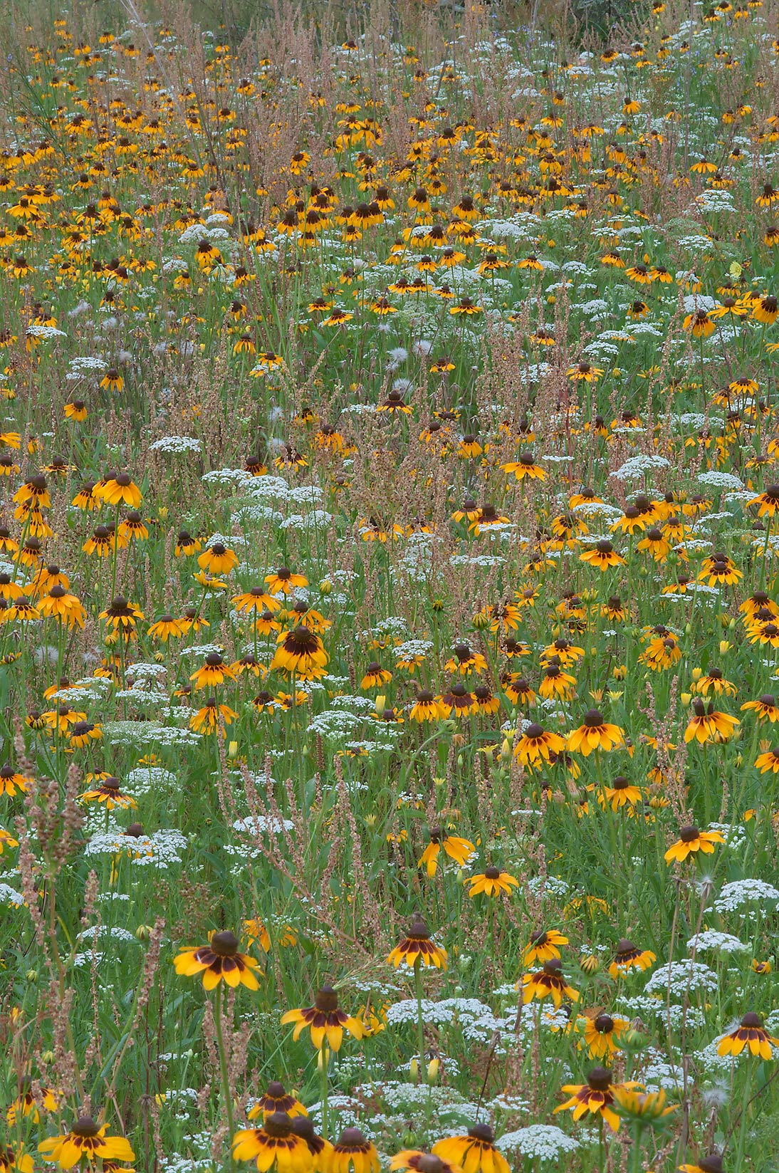 Meadow of flowers in Lick Creek Park. College Station, Texas
