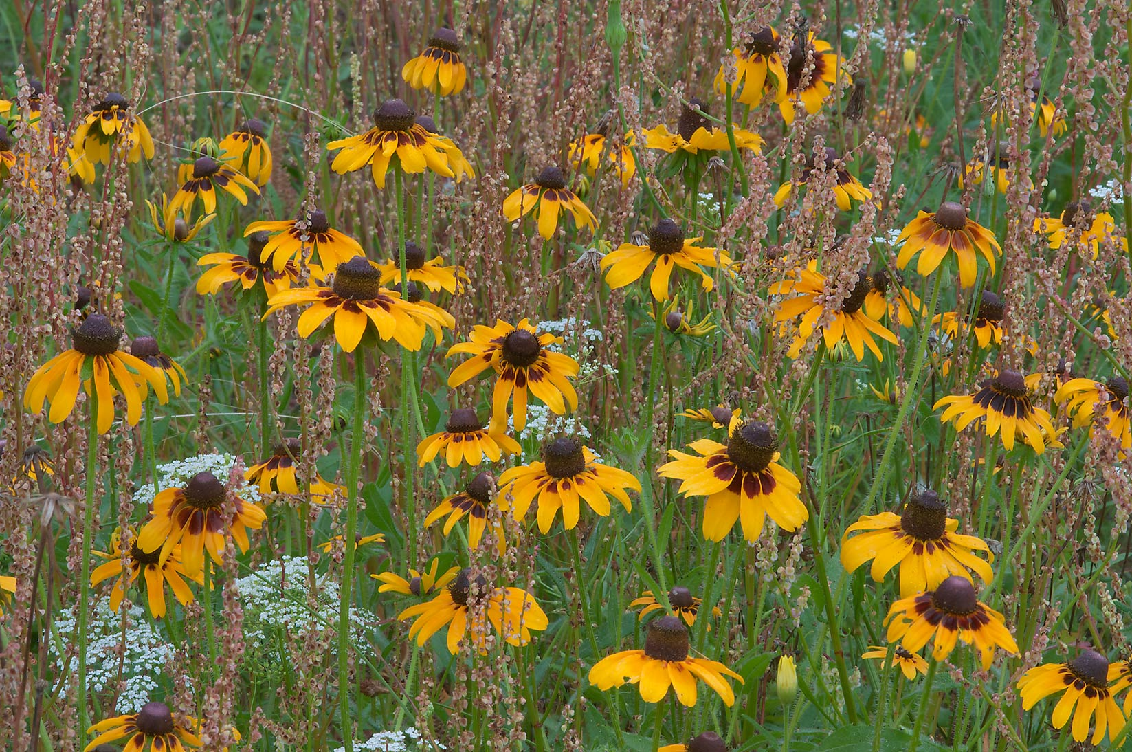Black Eyed Susan (Rudbeckia hirta) and curly dock...Creek Park. College Station, Texas