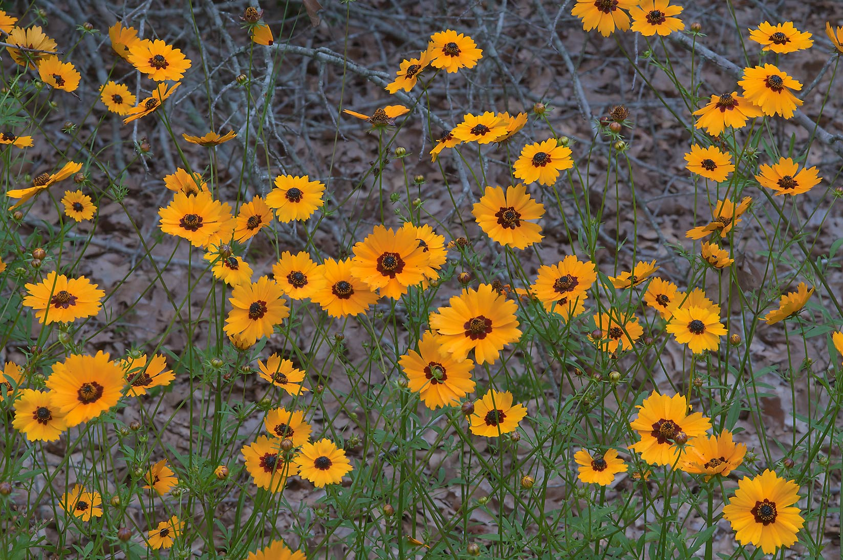 Coreopsis near dry oaks in Lick Creek Park. College Station, Texas