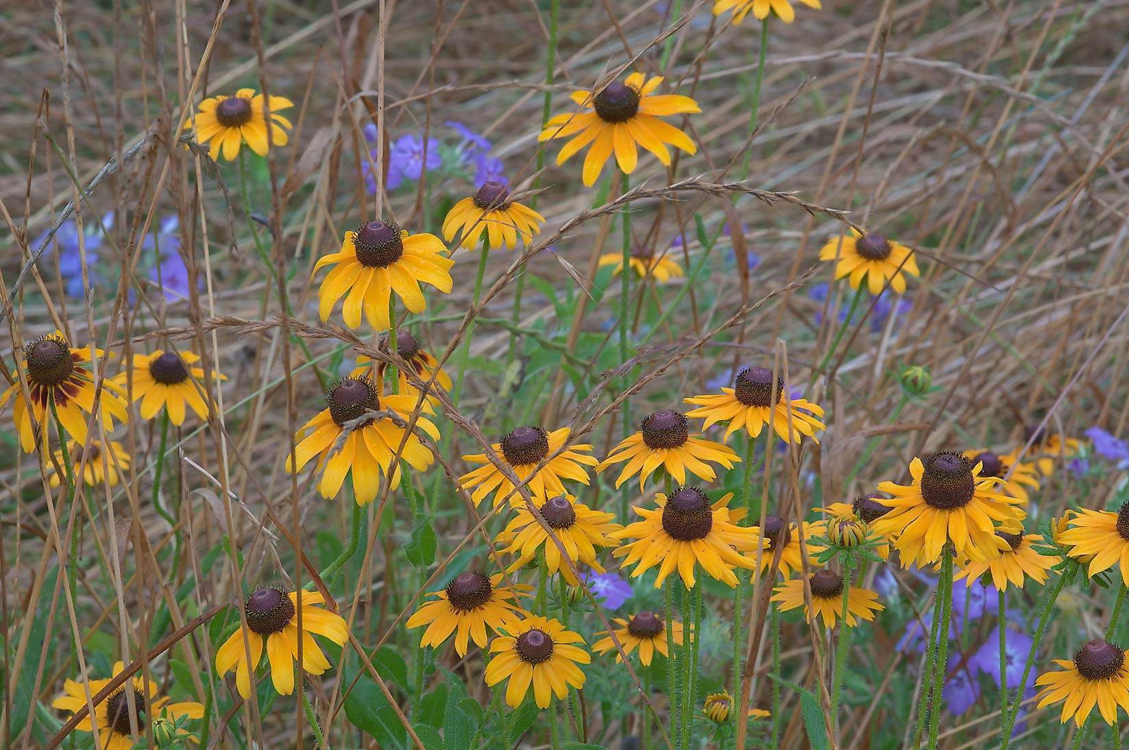 Black eyed susan and blue phlox in Washington-on...State Historic Site. Washington, Texas