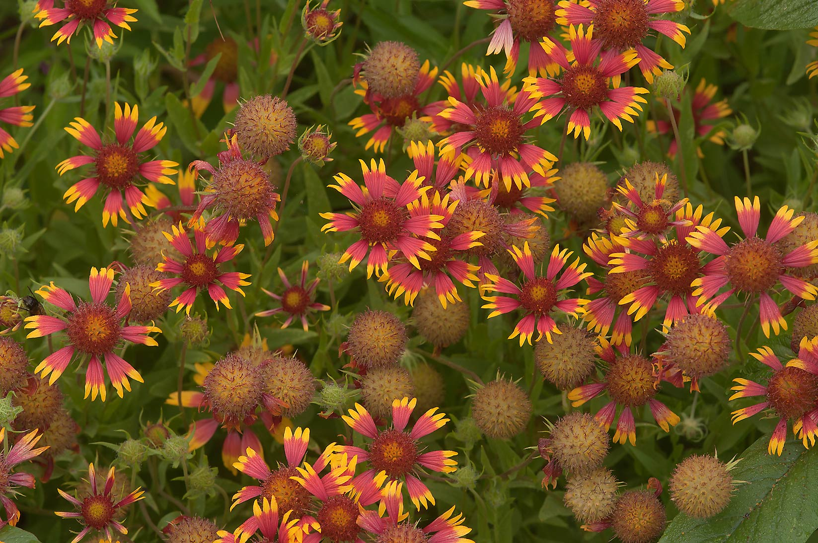 Indian blanket (Gaillardia pulchella, firewheel...State Historic Site. Washington, Texas