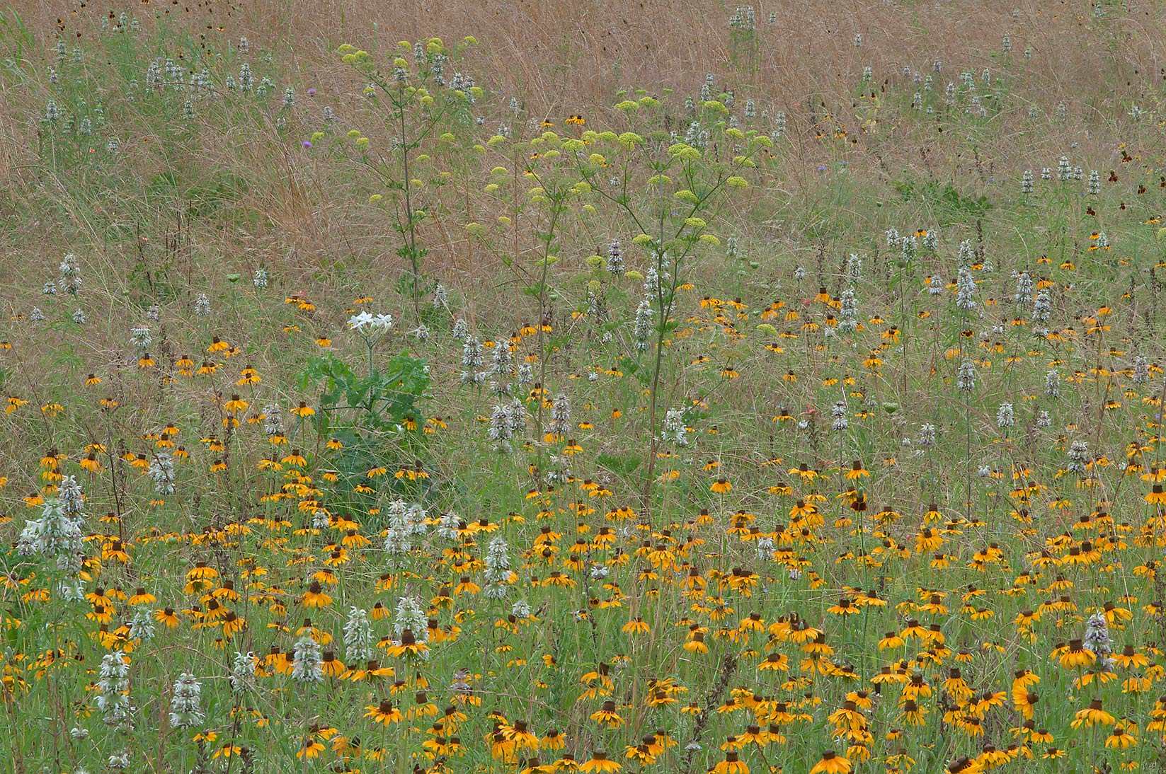 Black Eyed Susan and field parsley near Loop...State Historic Site. Washington, Texas