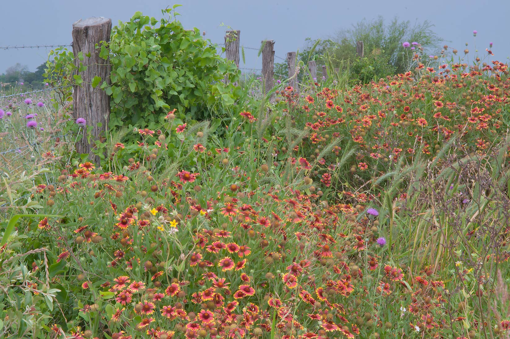 Flowers around a fence near Rd. FM 390 south from Lake Somerville. Texas