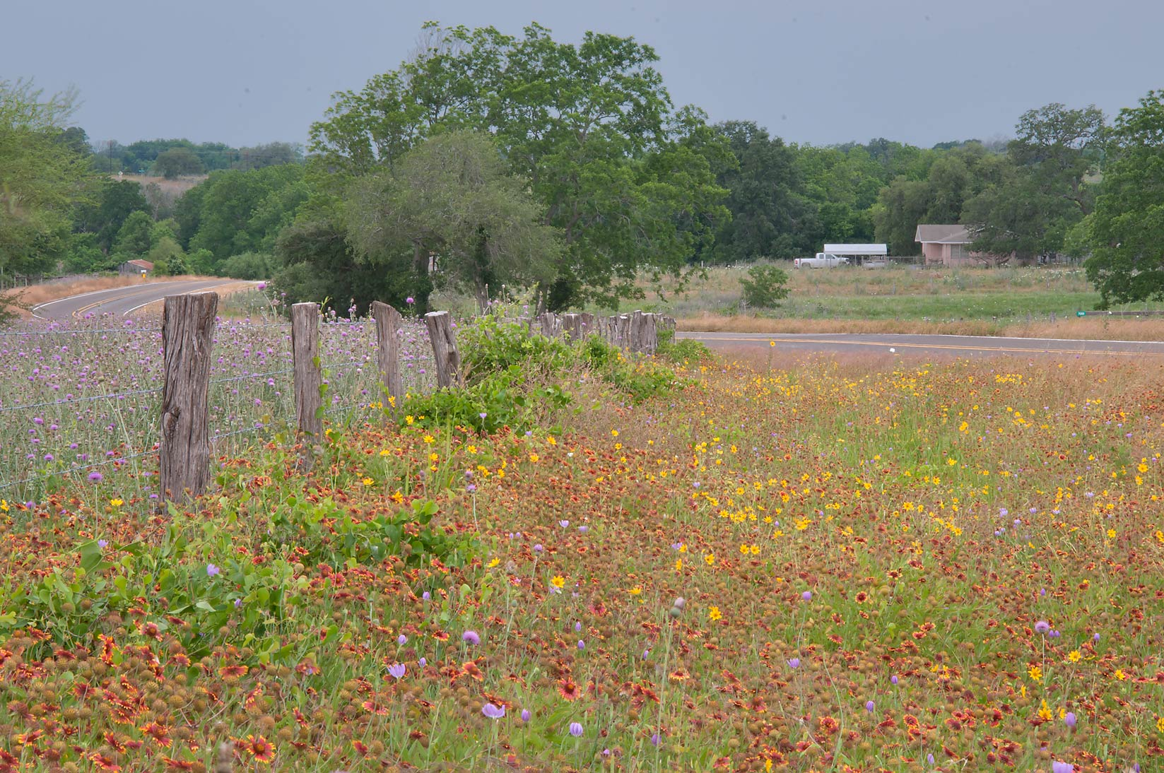 Flowers between a fence and Rd. FM 390 south from Lake Somerville. Texas