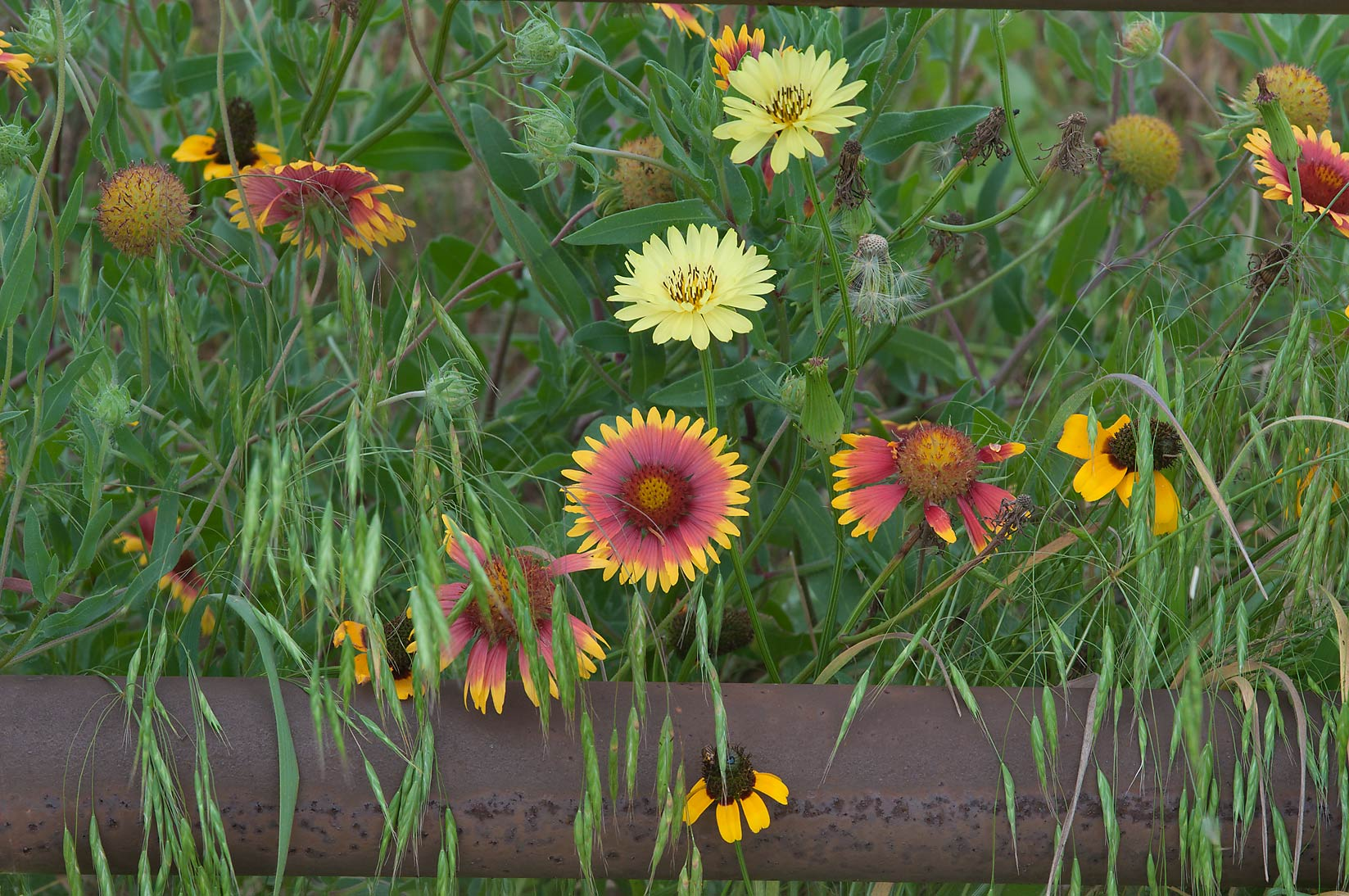 Flowers over a rusty fence near Old Chappell Hill Rd.. Texas