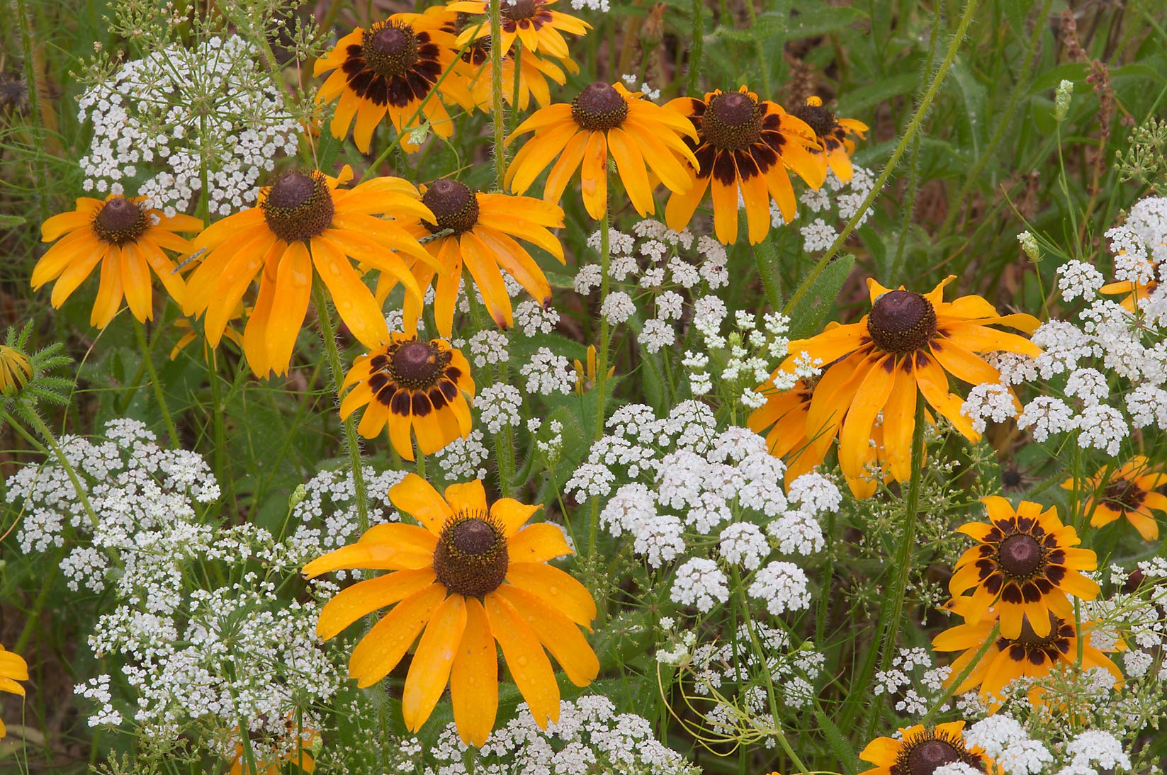 Black-eyed susan and Mock Bishop's Weed in Lick Creek Park. College Station, Texas