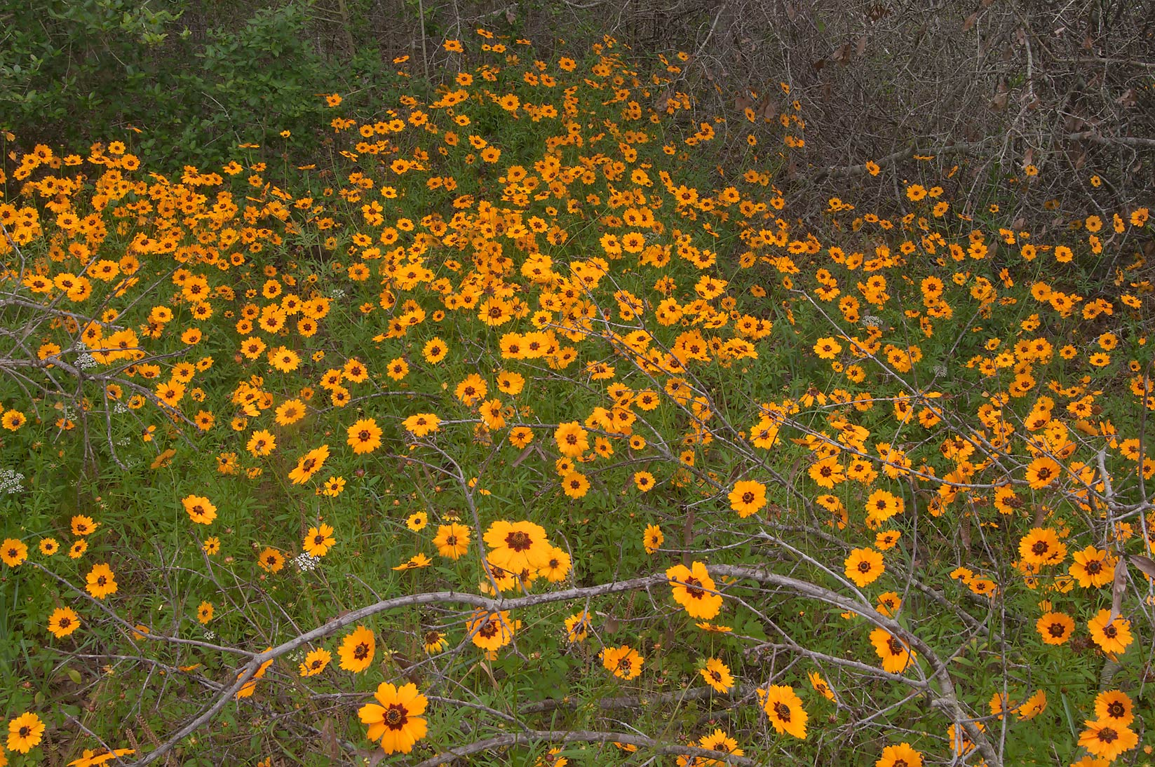 Coreopsis near dry trees in Lick Creek Park. College Station, Texas