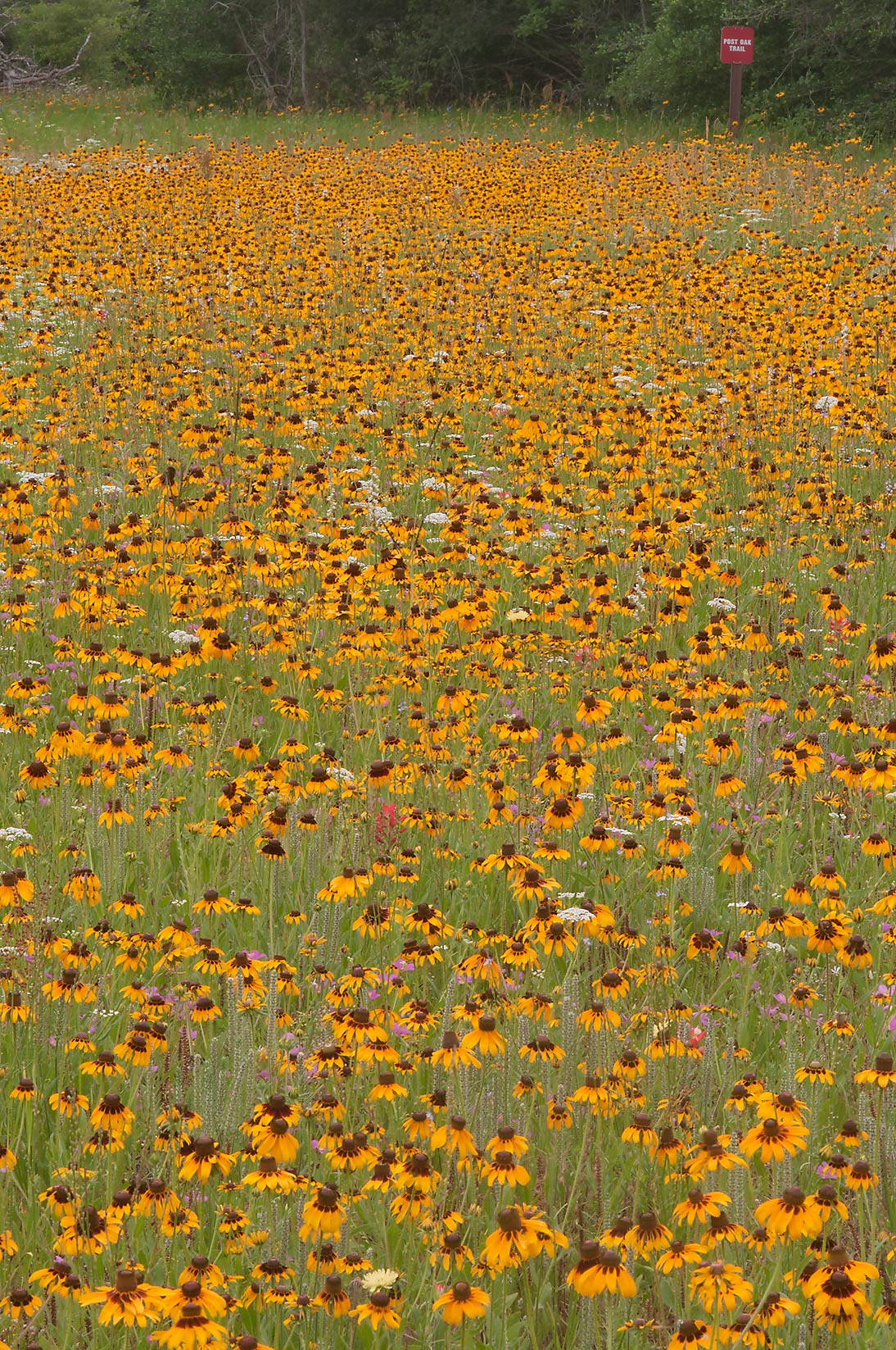 Field of Black eyed susan near Post Oak Trail in Lick Creek Park. College Station, Texas