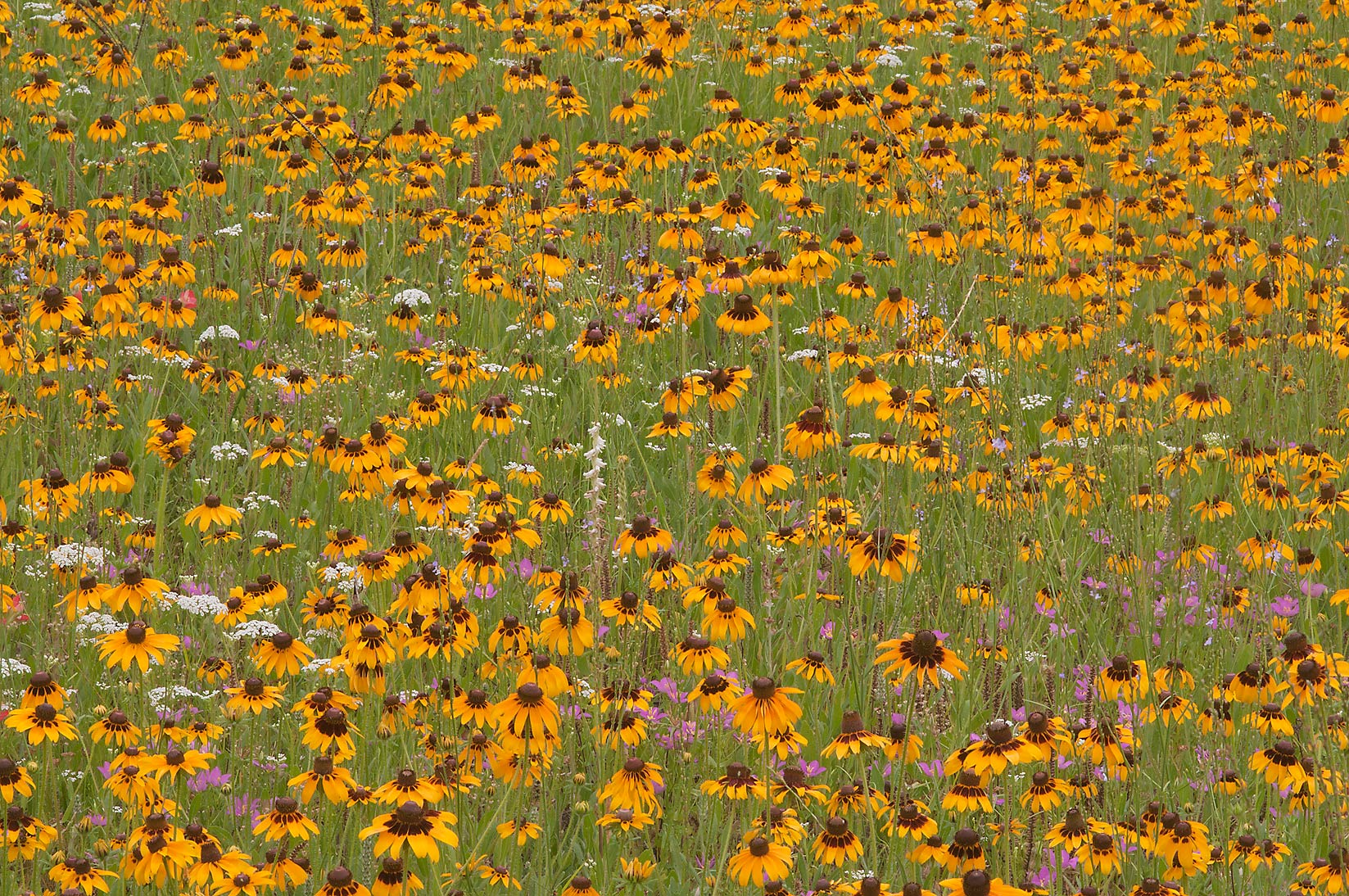 Field of flowers of Rudbeckia hirta near...Creek Park. College Station, Texas