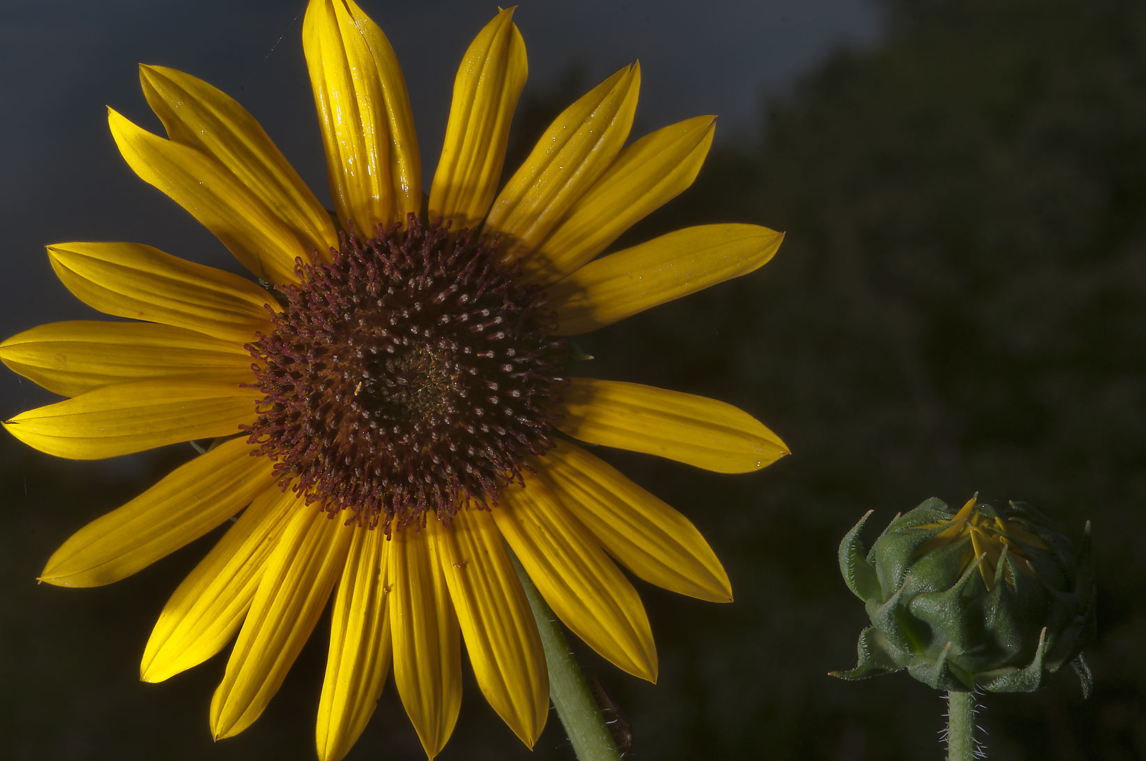 Common sunflower (Helianthus annuus) near a pond...State Historic Site. Washington, Texas